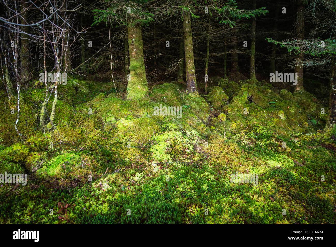 Sous-bois couverts de mousse luxuriante forêt de pins en Scottish Highlands Photo Stock