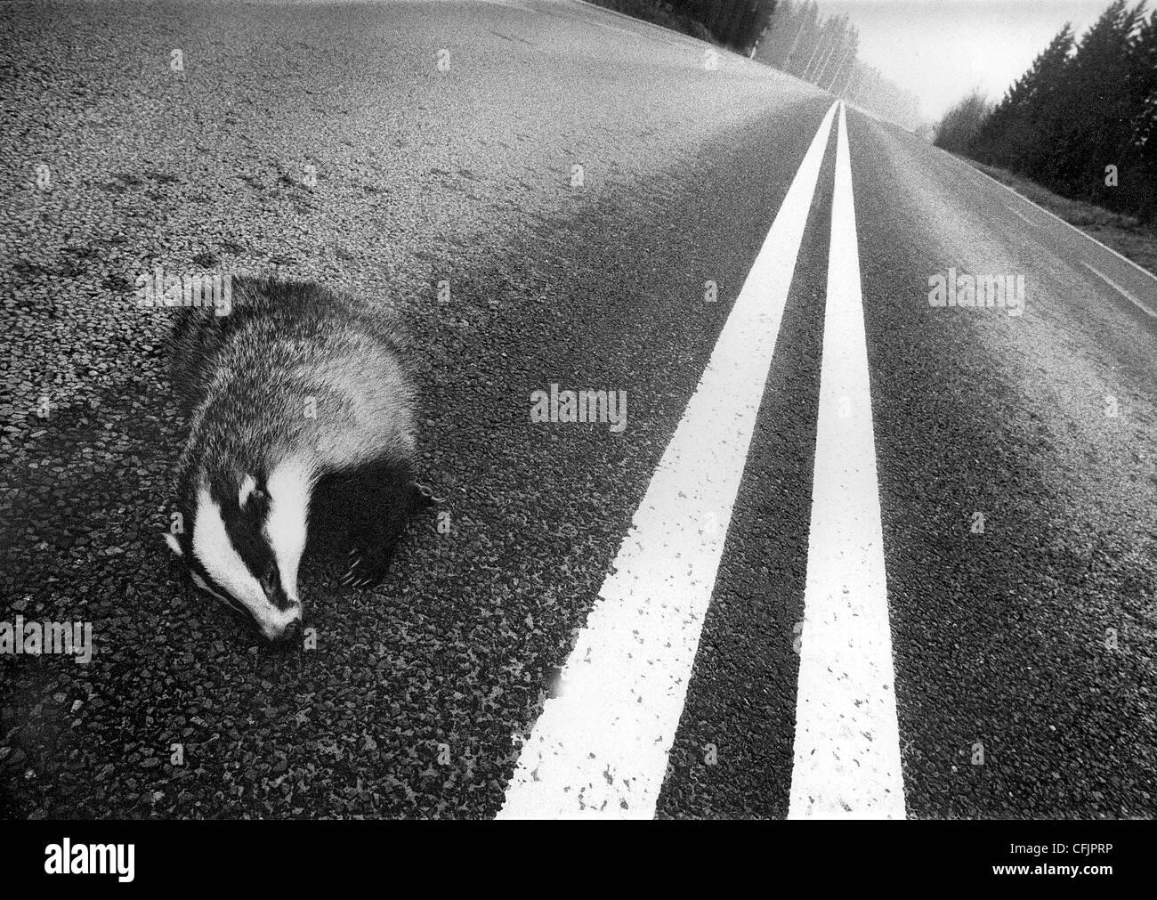 Rayures, blaireau tués sur la route à double voie des lignes, Suède Photo Stock