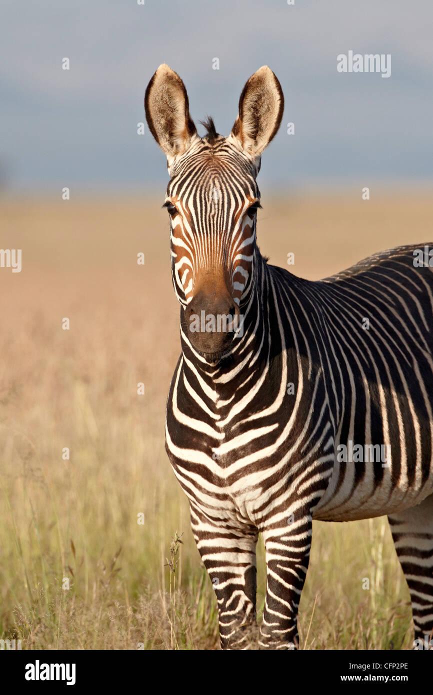 Zèbre de montagne du cap (Equus zebra zebra), Mountain Zebra National Park, Afrique du Sud, l'Afrique Photo Stock