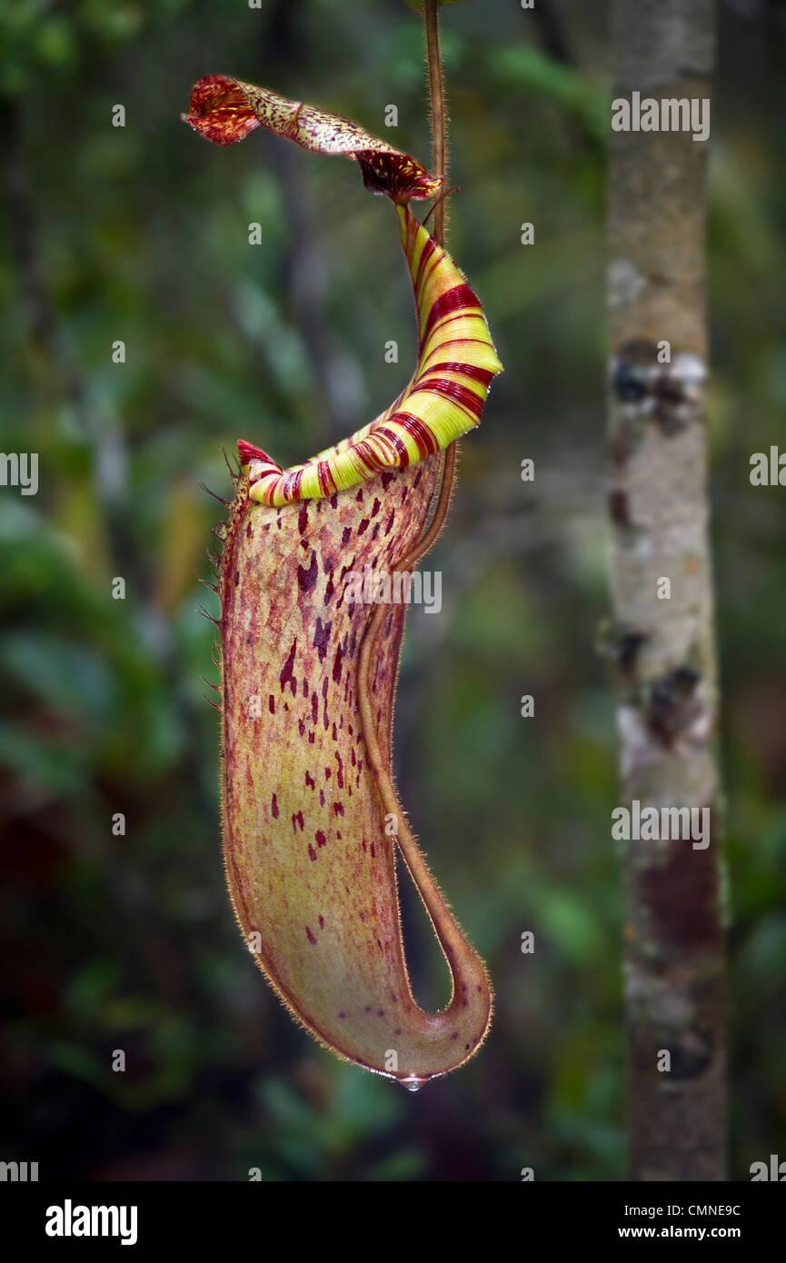 Grand pichet d'antenne hybride naturel sarracénie pourpre. Des monts de la forêt moussue heath ou Photo Stock