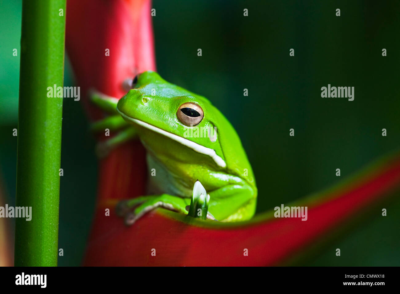 White-lipped tree frog (Litoria infrafrenata) assis sur une fleur mauve. Cairns, Queensland, Australie Photo Stock