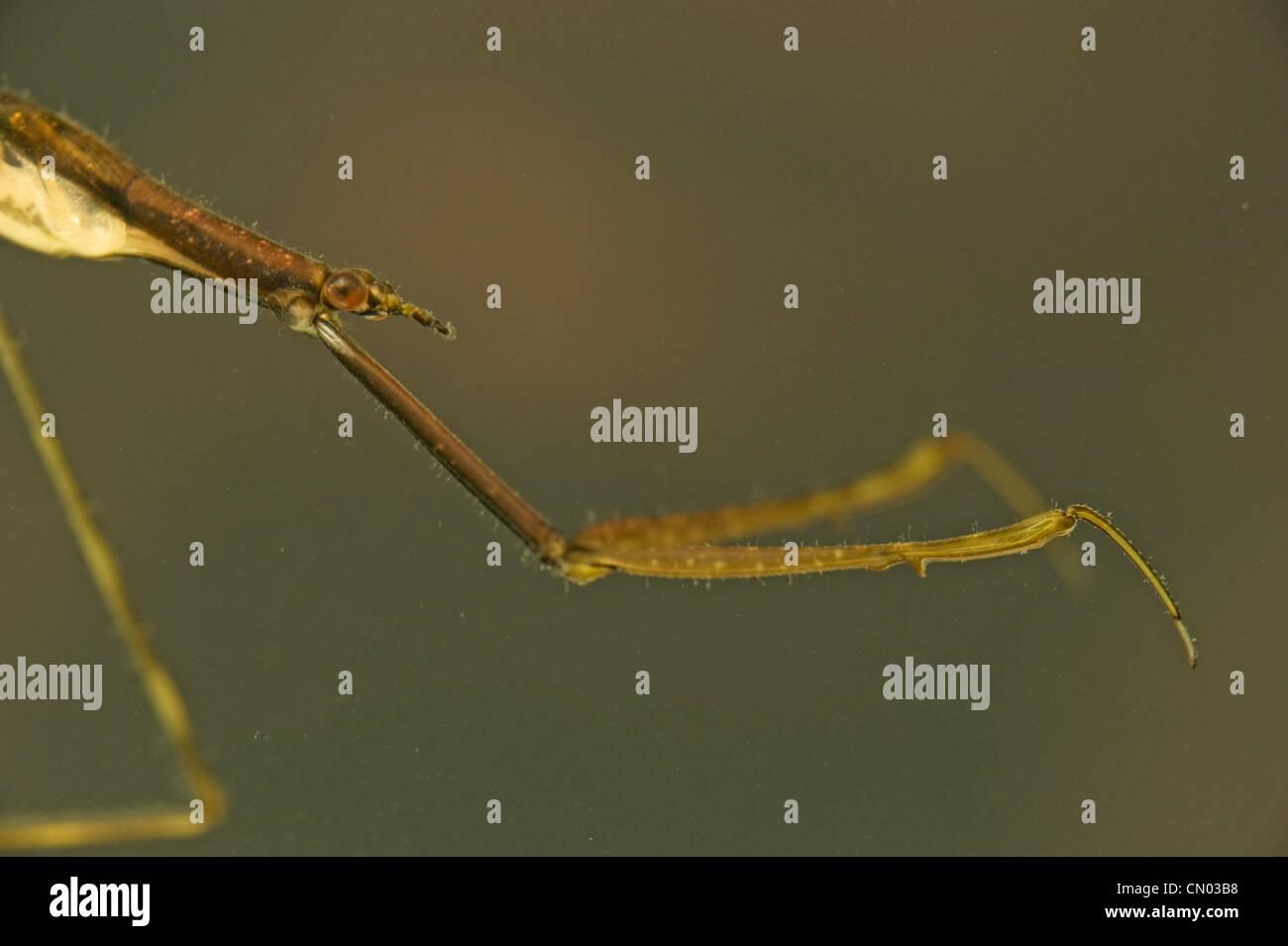 Close-up of Australian aiguille bug aka scorpion de l'eau Photo Stock