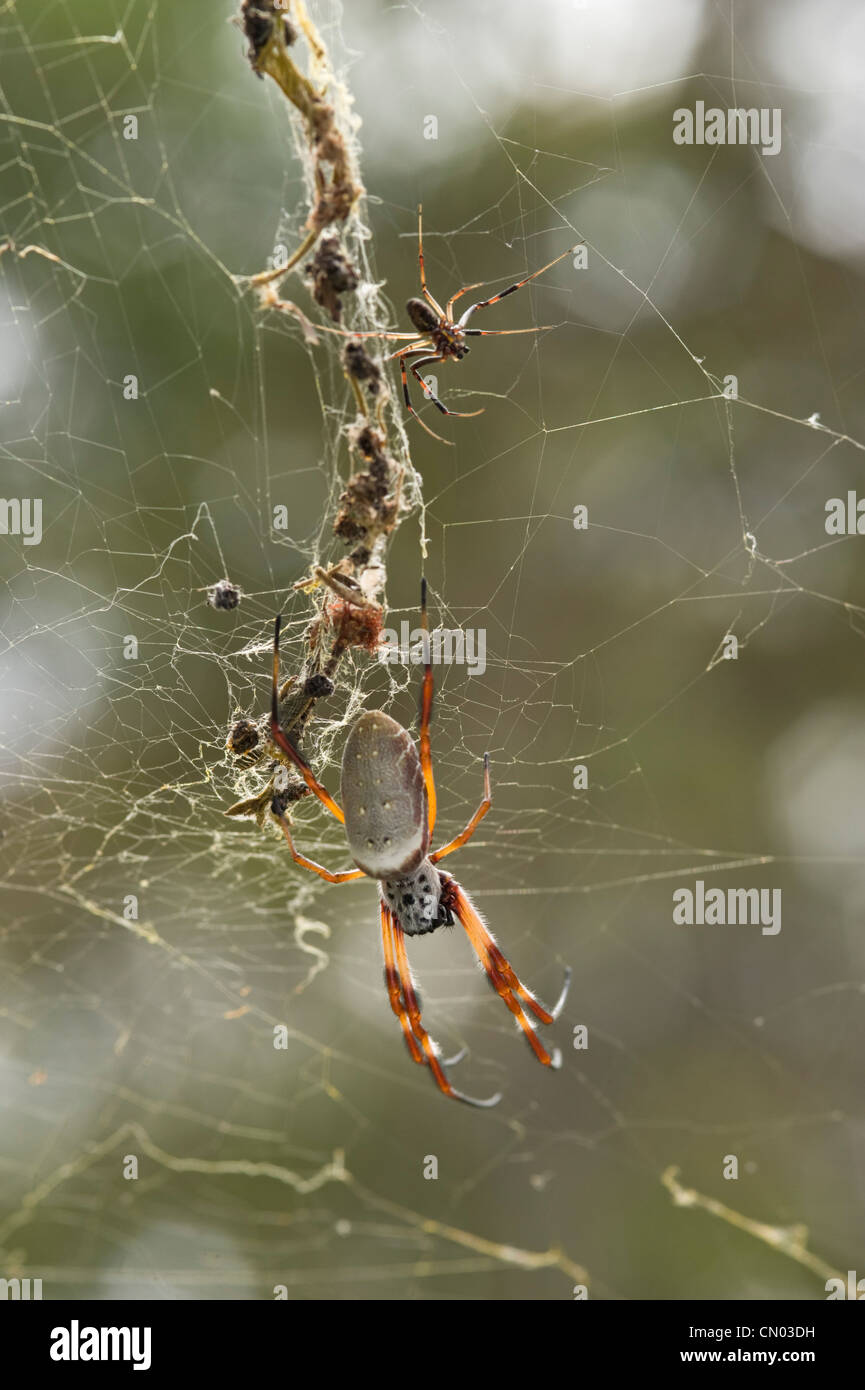 Grande femelle golden-orb weaver spider et petit mâle dans web Photo Stock