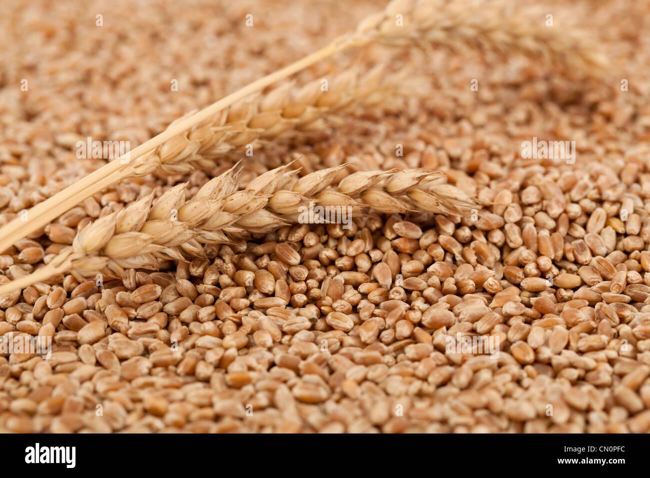 Et les matières sèches du blé comme arrière-plan Photo Stock