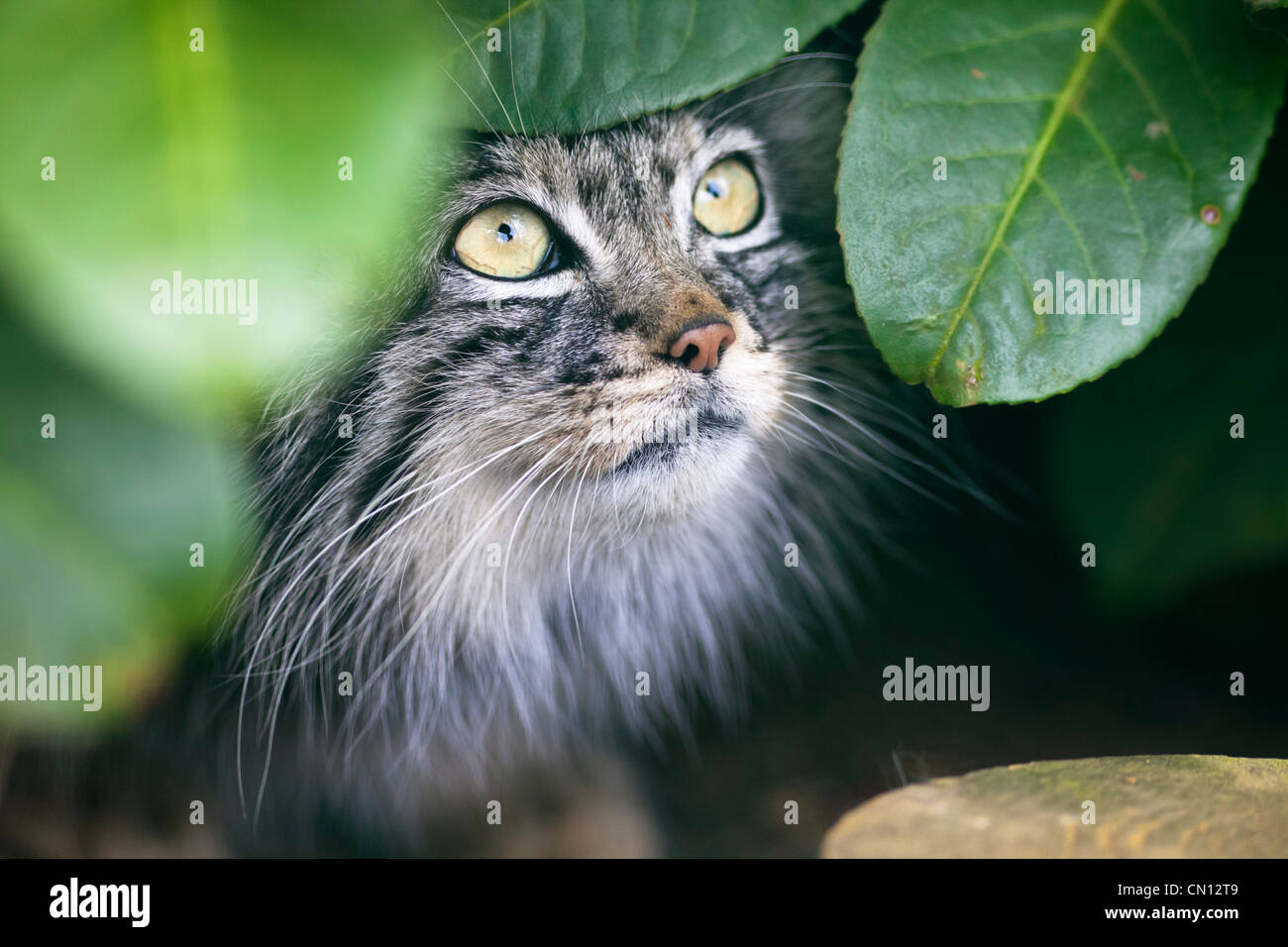 Otocolobus manul Chat - Pallas Photo Stock