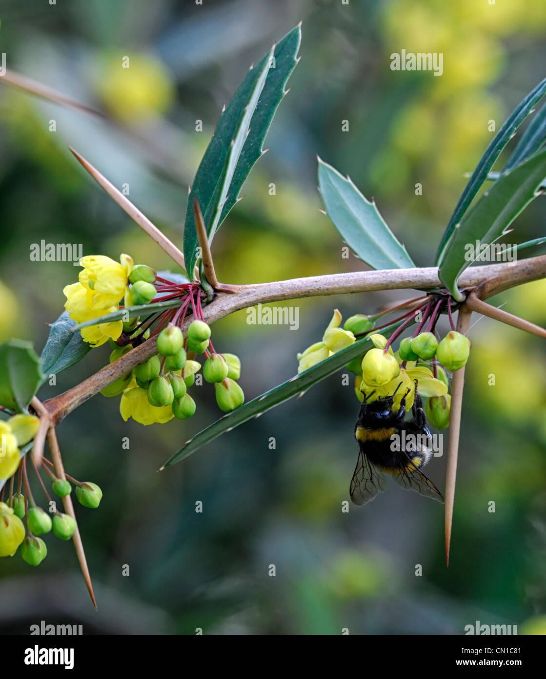 Berberis Pruinosa Printemps Jaune Fleurs Arbustes Coniferes Plantes