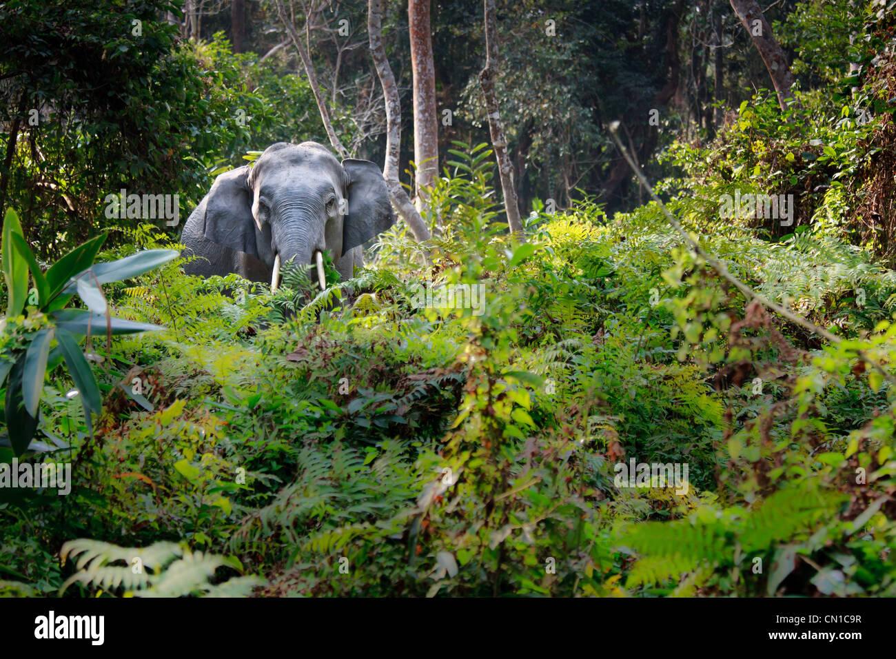 Les Indiens sauvages éléphant (Elephas maximus indicus) debout dans la forêt, de l'Assam, Inde Photo Stock