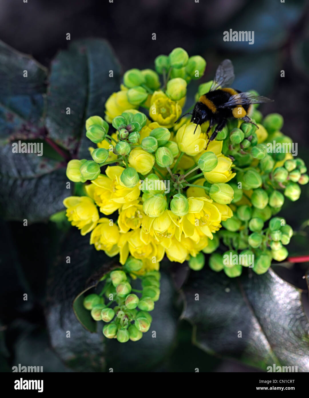 Mahonia Repens Printemps Fleurs Jaune Alimentation Alimentation