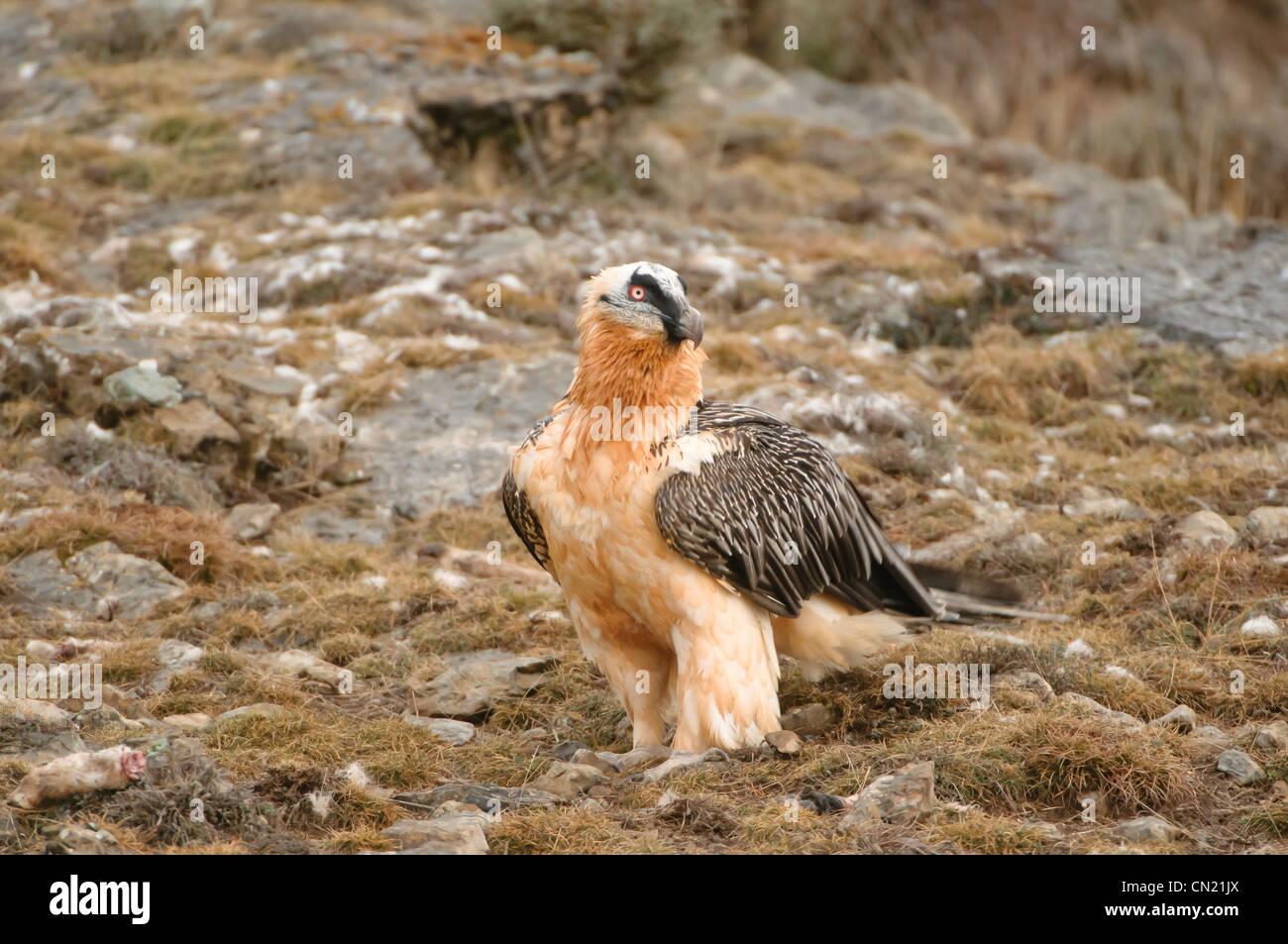 Lagermeier (LIC)) Carrion s'alimenter à une station d'alimentation d'oiseaux nécrophages, Photo Stock