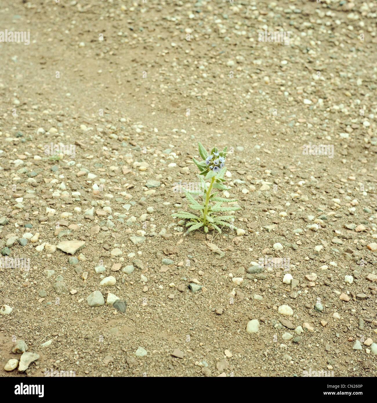 Seule fleur dans le désert Photo Stock
