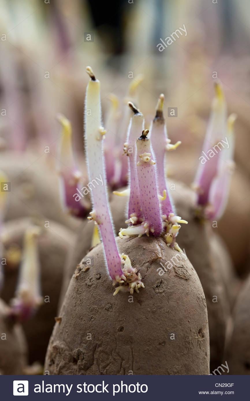 Chitted préparation pratique des pommes de terre de semence la remise de jardin de légumes prêts Photo Stock