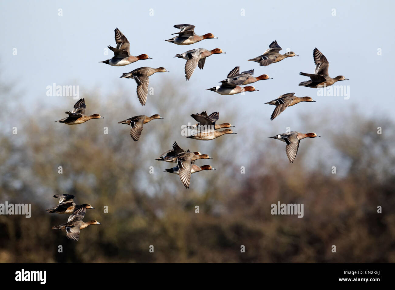 Siffleur, l'Anas penelope, groupe d'oiseaux en vol, Gloucestershire, Mars 2012 Photo Stock