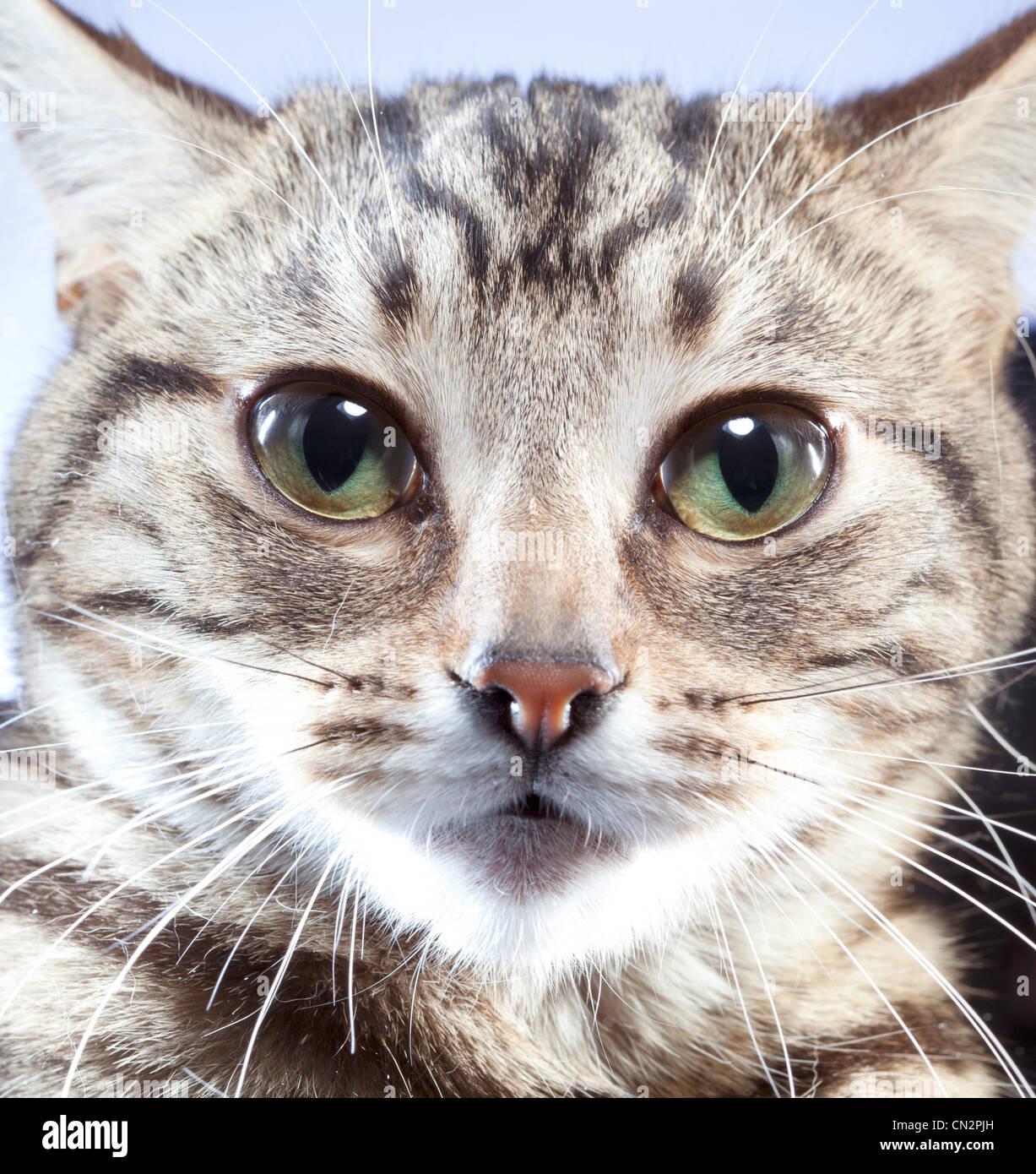 Portrait de chat, Close up Photo Stock