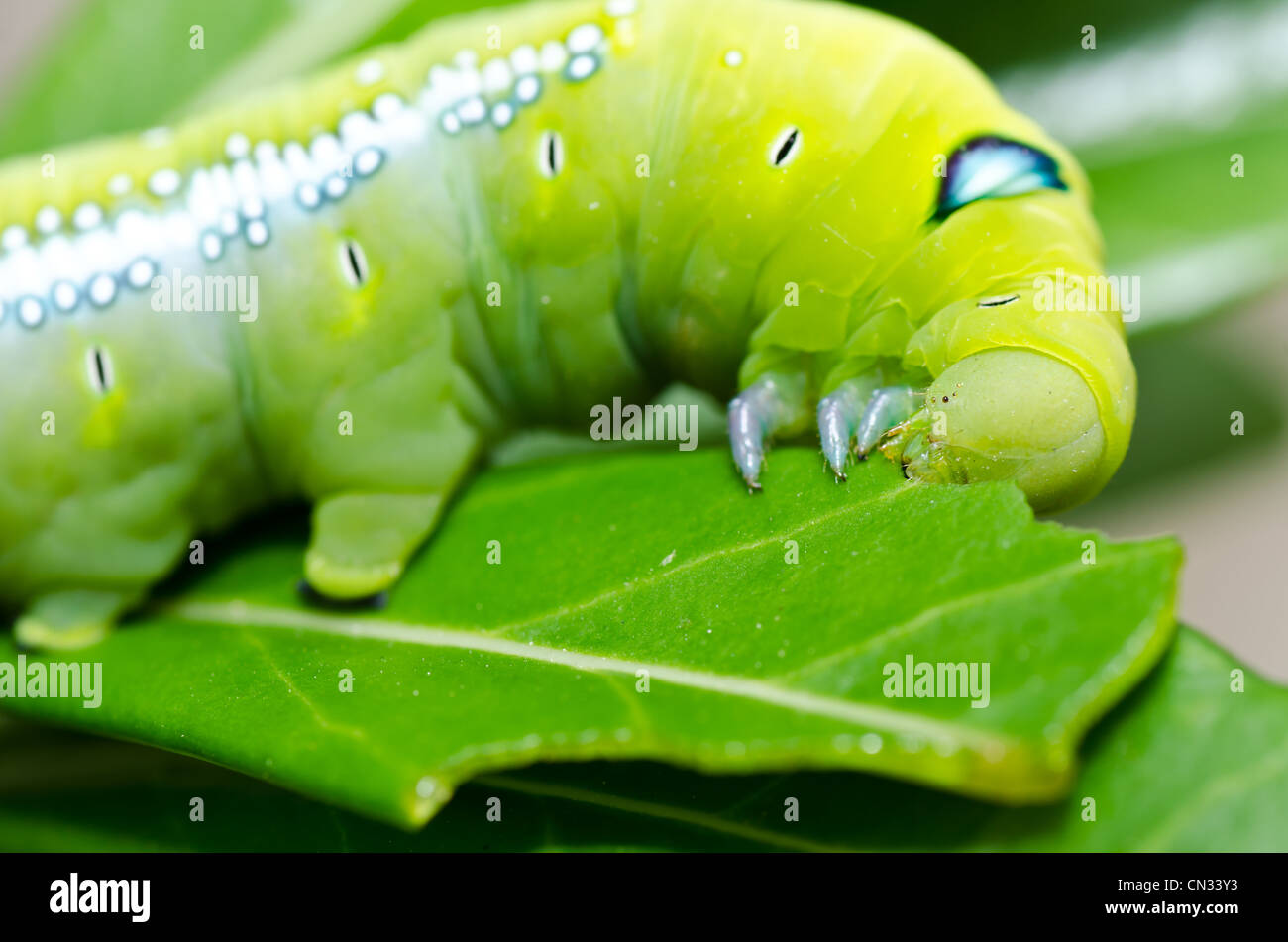 Manger dans des feuilles de vers green nature ou dans le jardin Photo Stock