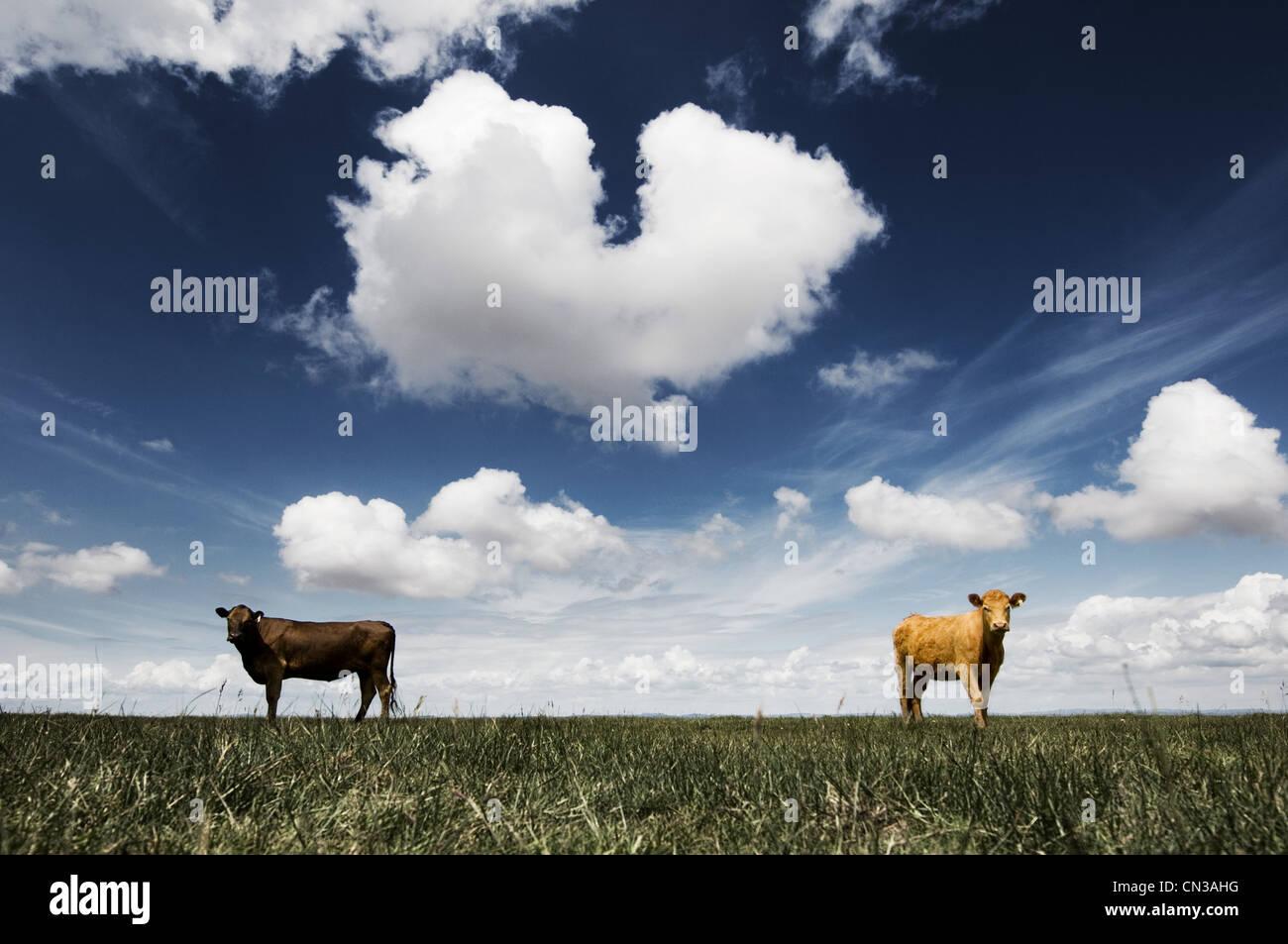 Deux vaches dans le champ Photo Stock