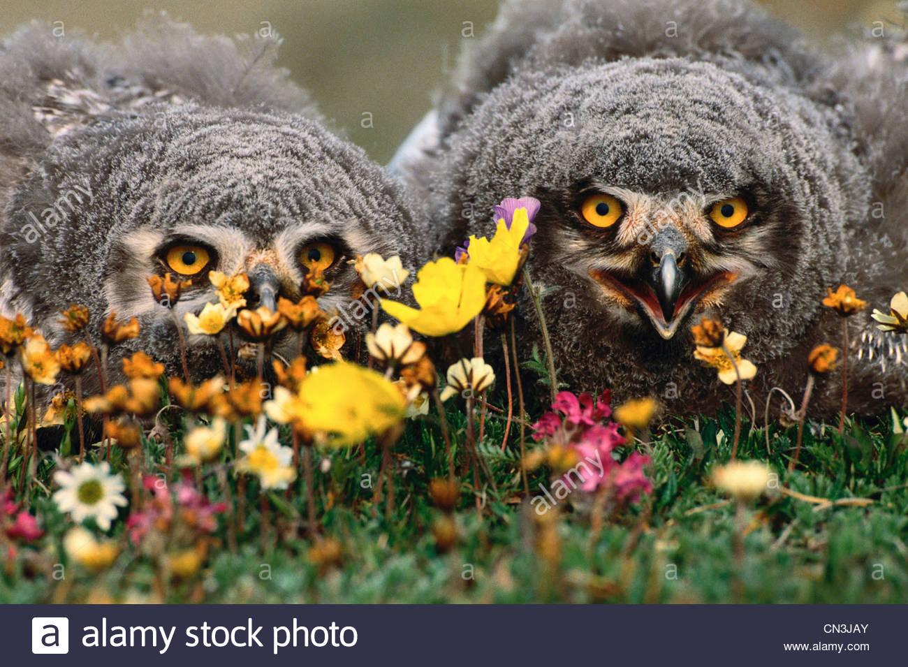 Snowy owlets monticule au nid, Arctic National Wildlife Refuge, en Alaska Photo Stock