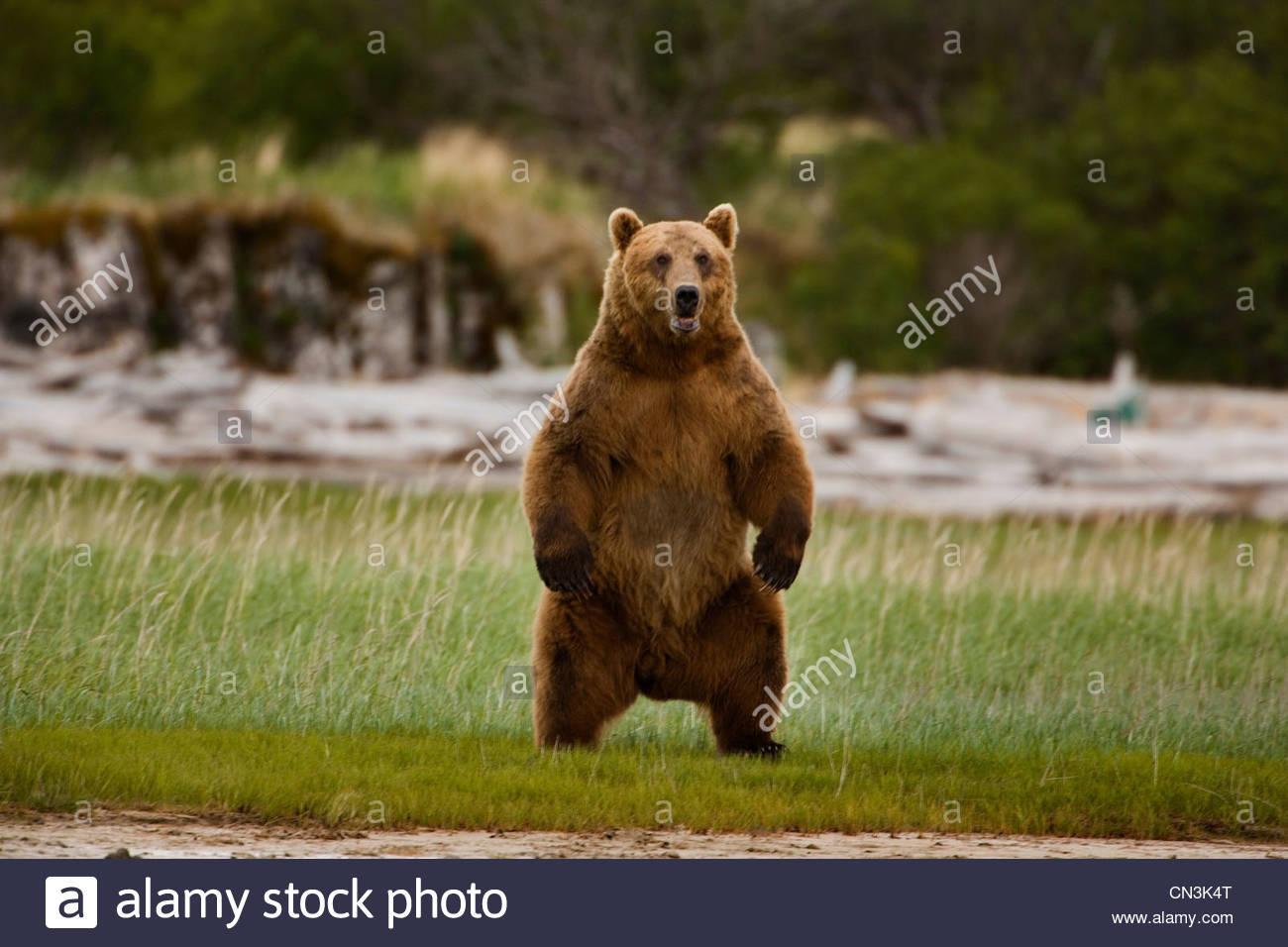 L'ours brun, Katmai National Park, Alaska Photo Stock