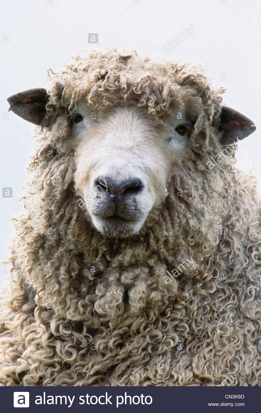 Portrait de mouton, île de Skye, Écosse Photo Stock