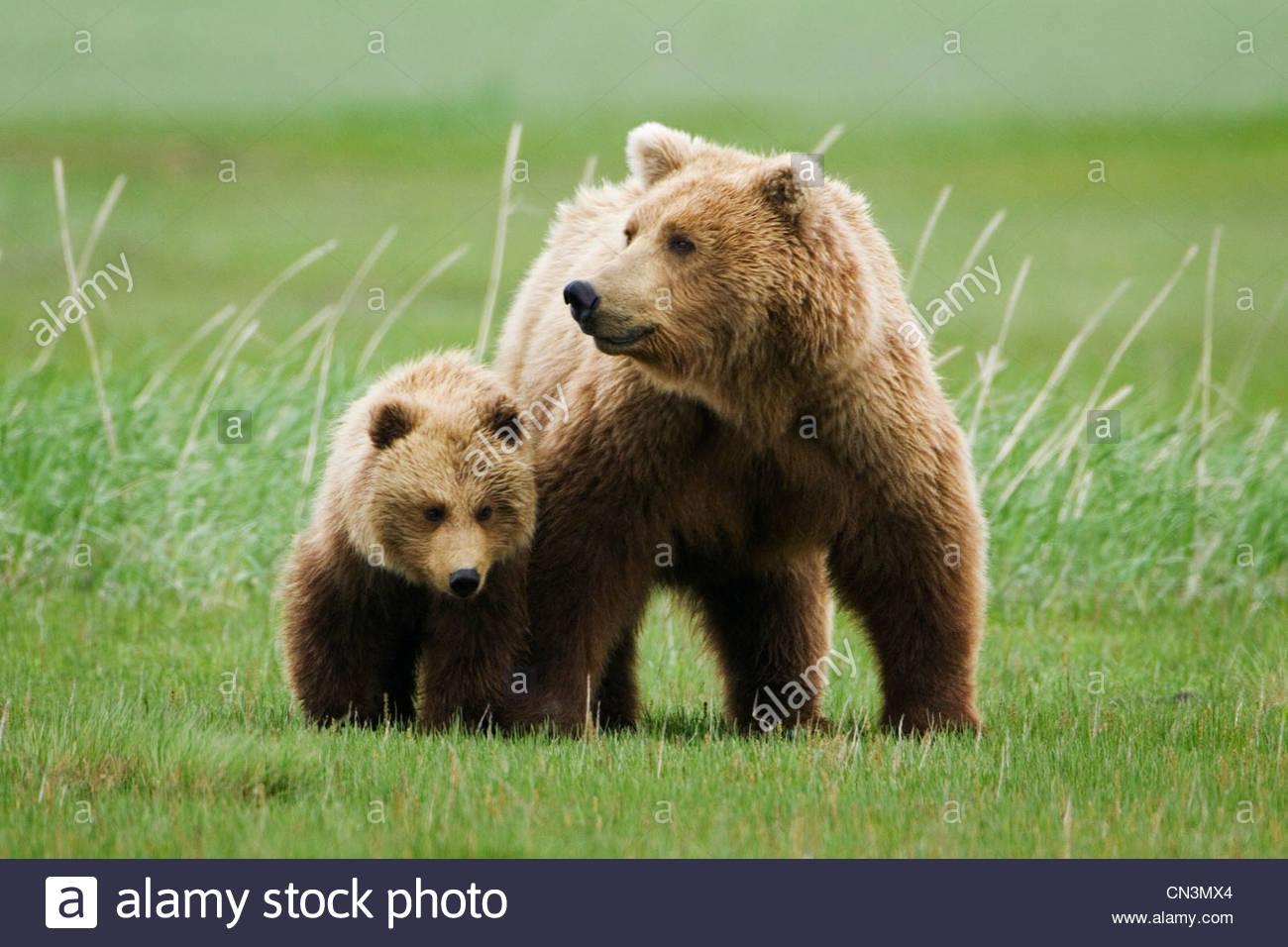 Mère et son petit ours brun, Katmai National Park, Alaska Photo Stock