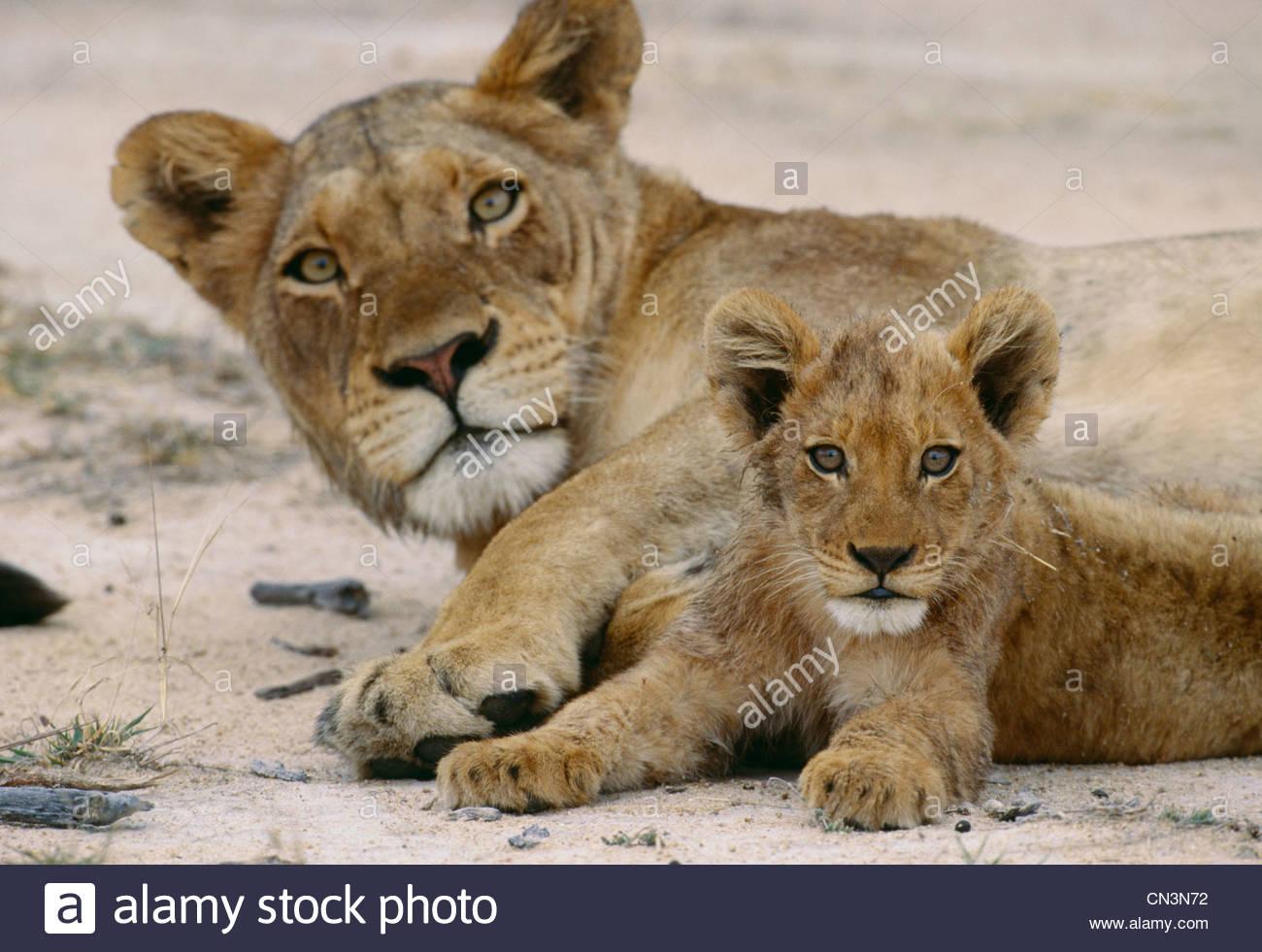 L'African Lion et cub, Kruger National Park, Afrique du Sud Photo Stock