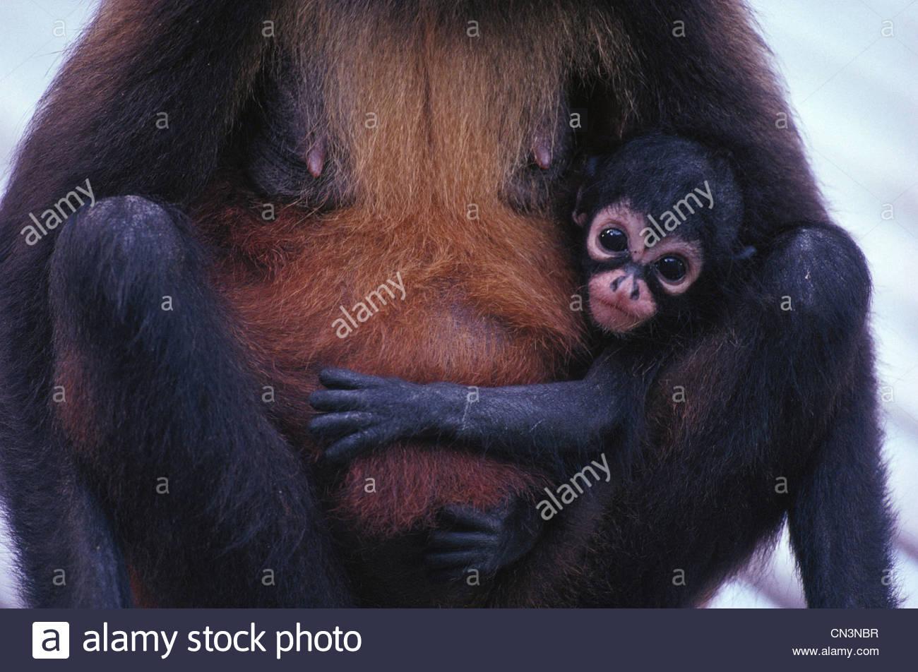 Singe araignée aux mains noires et bébé, Panama Photo Stock