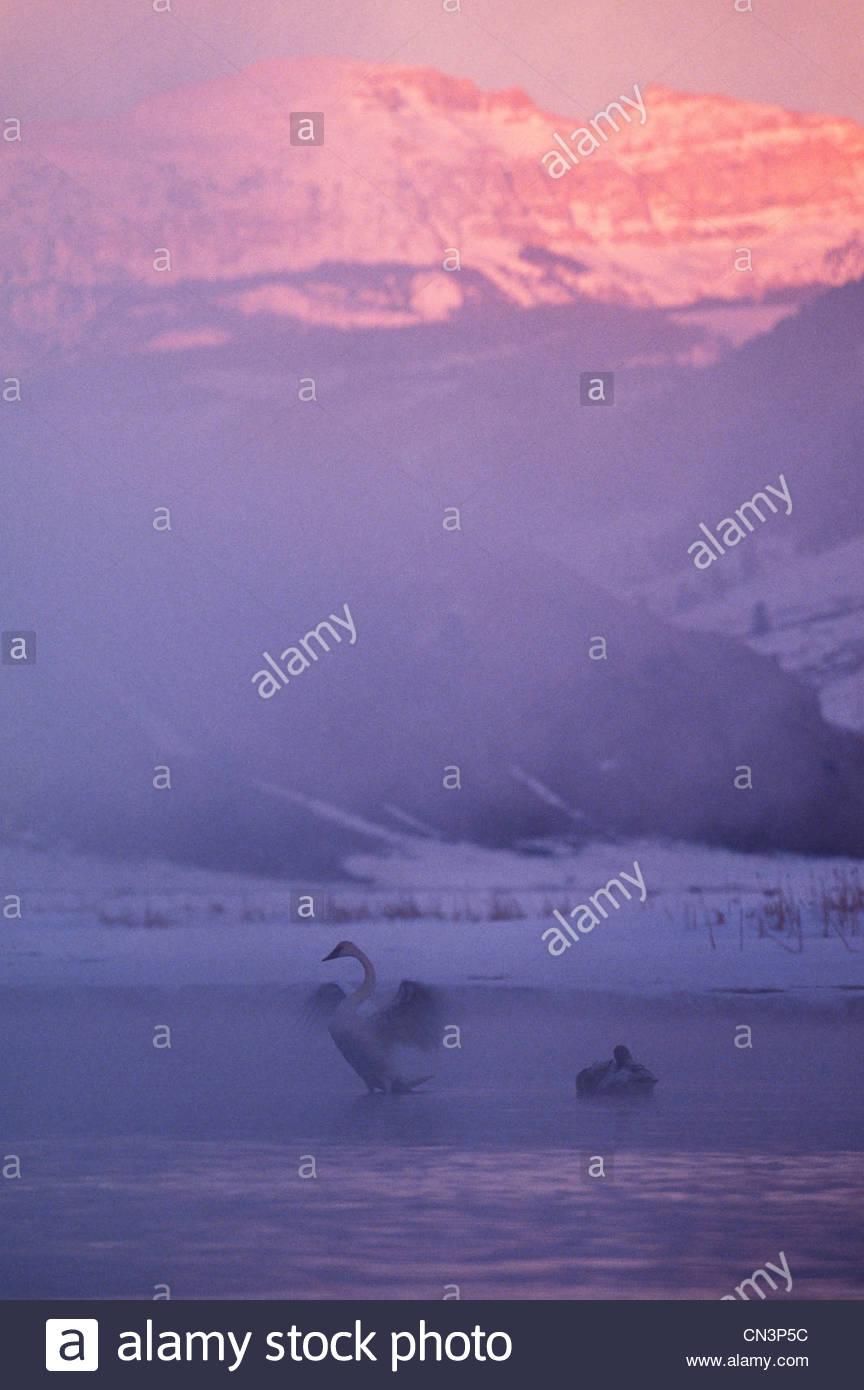 Les cygnes trompettes, Jackson Hole, Wyoming Photo Stock