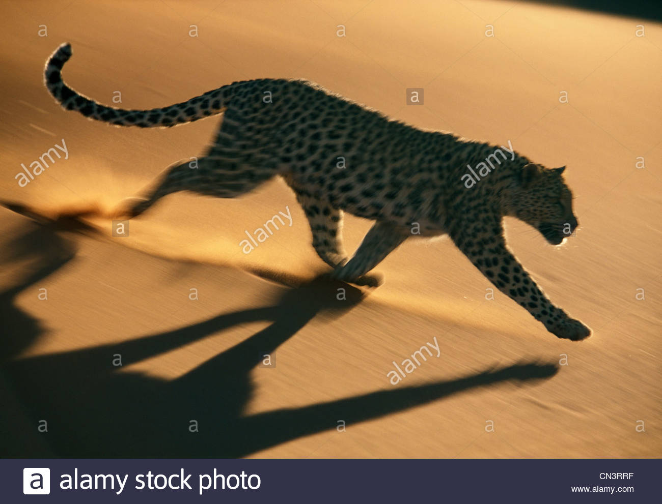 Leopard, Namib-Naukluft National Park, Namibie Photo Stock