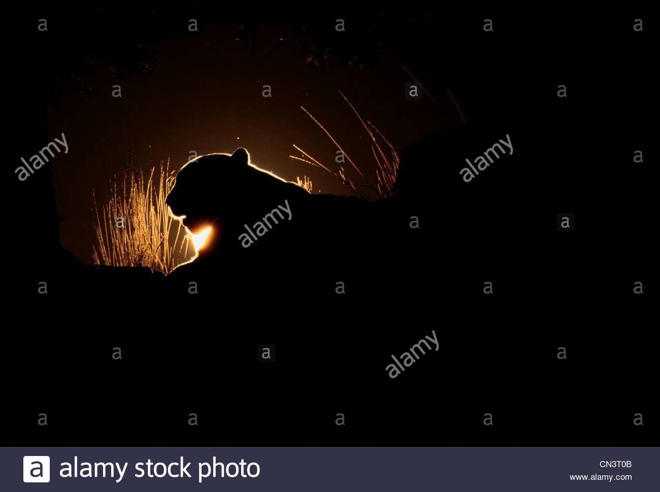 Mountain Lion Silhouette, Montana Photo Stock