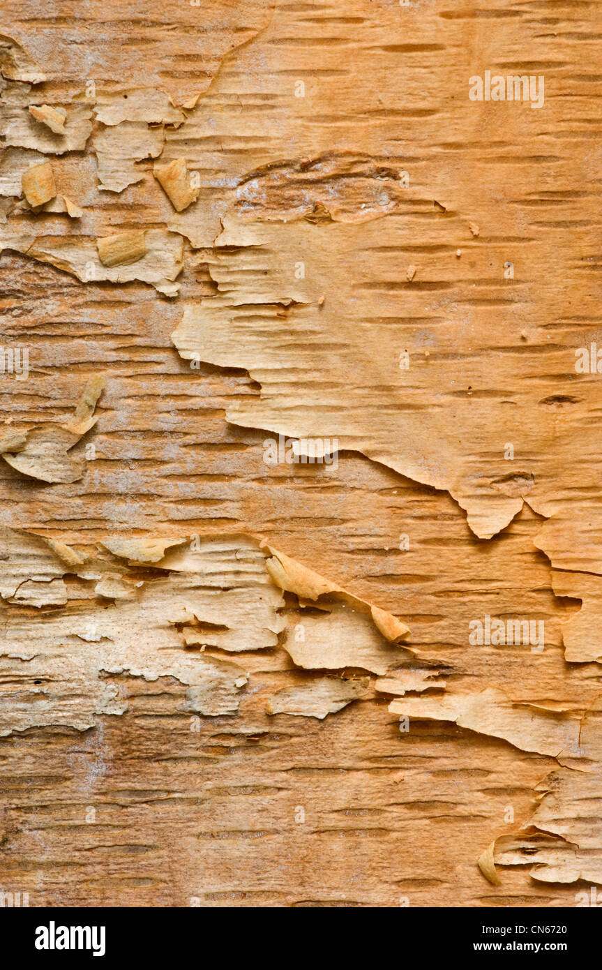 L'écorce pelée d'un arbre du bouleau à papier Photo Stock