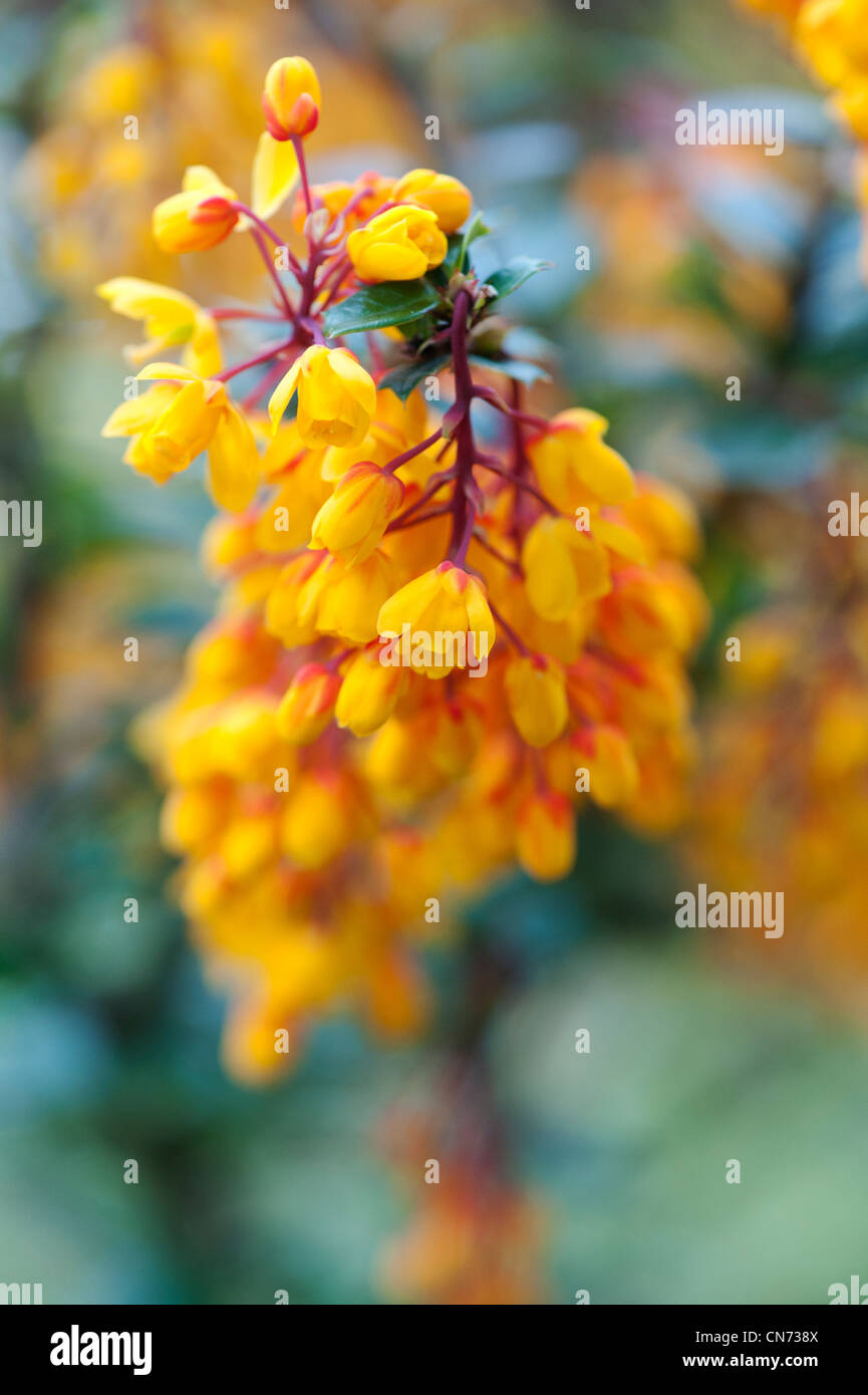 Berberis darwinii. Darwin's vinette fleurit en avril. UK Photo Stock