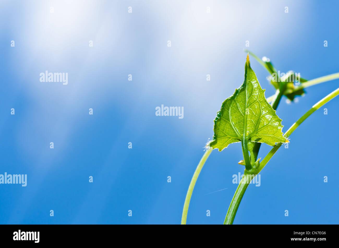 Feuille verte et ciel bleu dans la nature fraîche Photo Stock