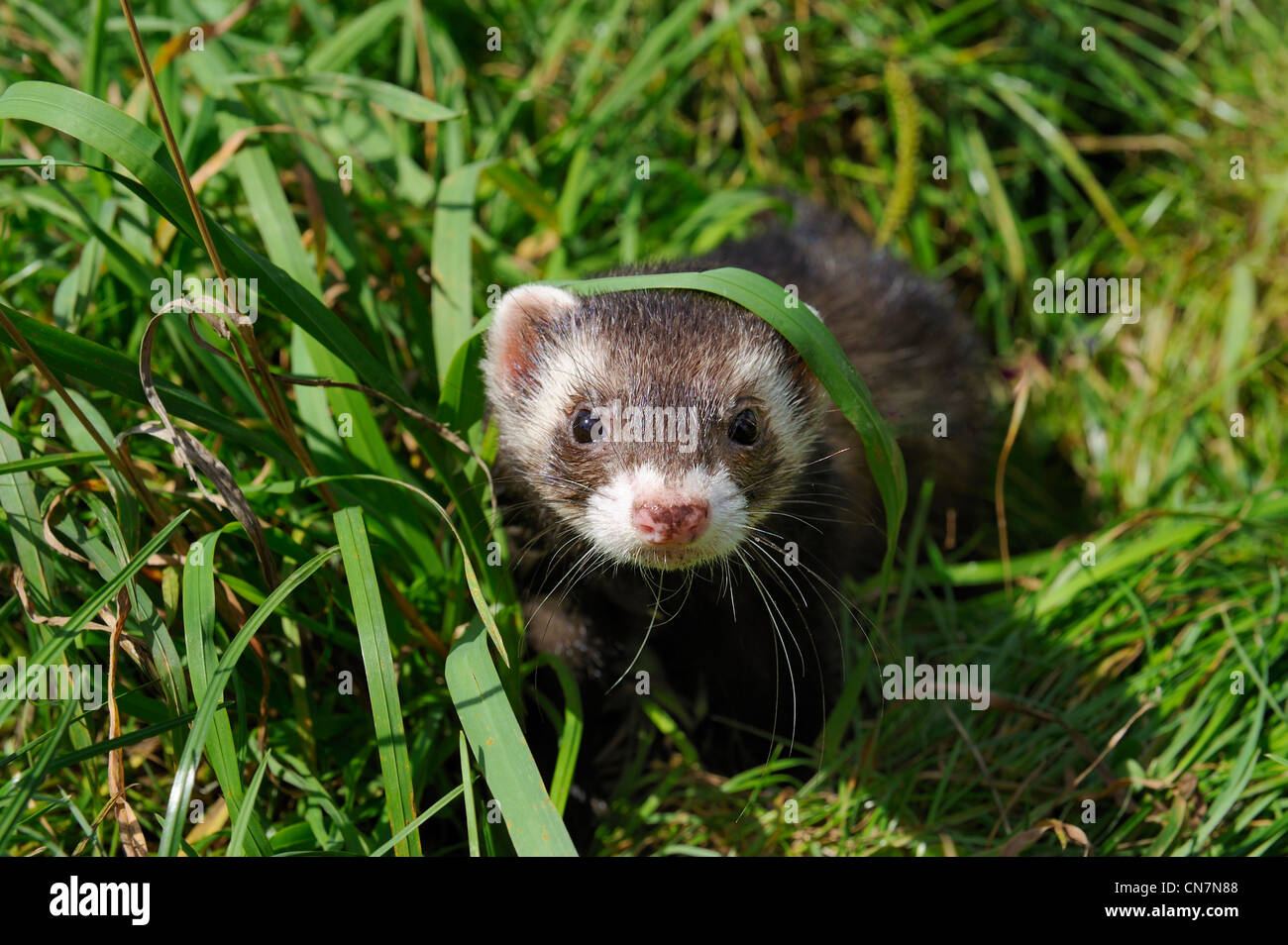 France, Paris, Bois de Boulogne, le furet domestique (Mustela putorius furo) Photo Stock
