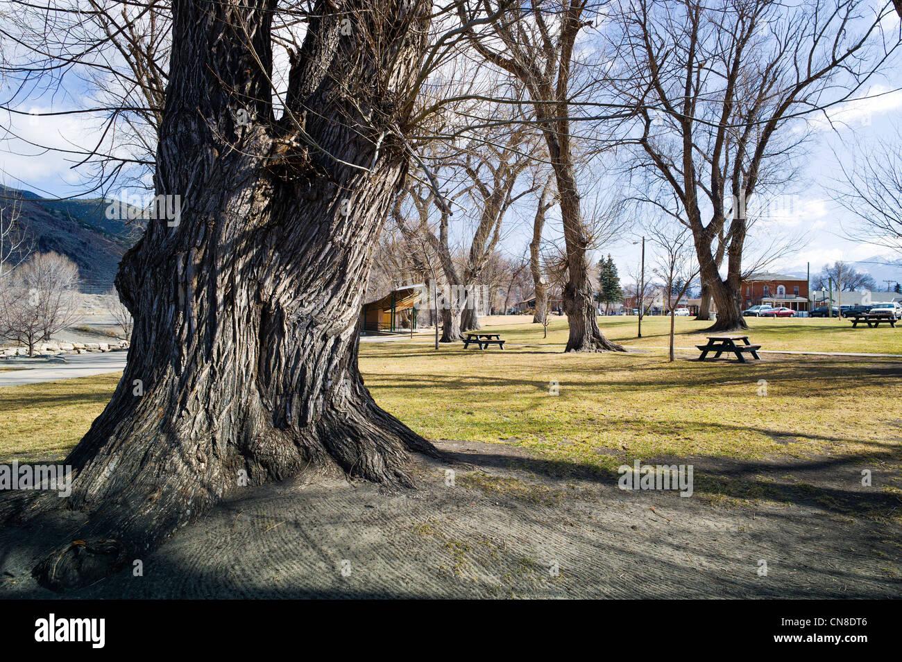 Texture rugueuse écorce sur de vieux arbres peupliers (Populus deltoides), Riverside Park, Colorado; Photo Stock