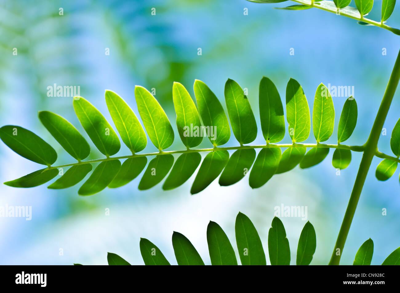Feuille verte et ciel bleu en vert nature douce Photo Stock