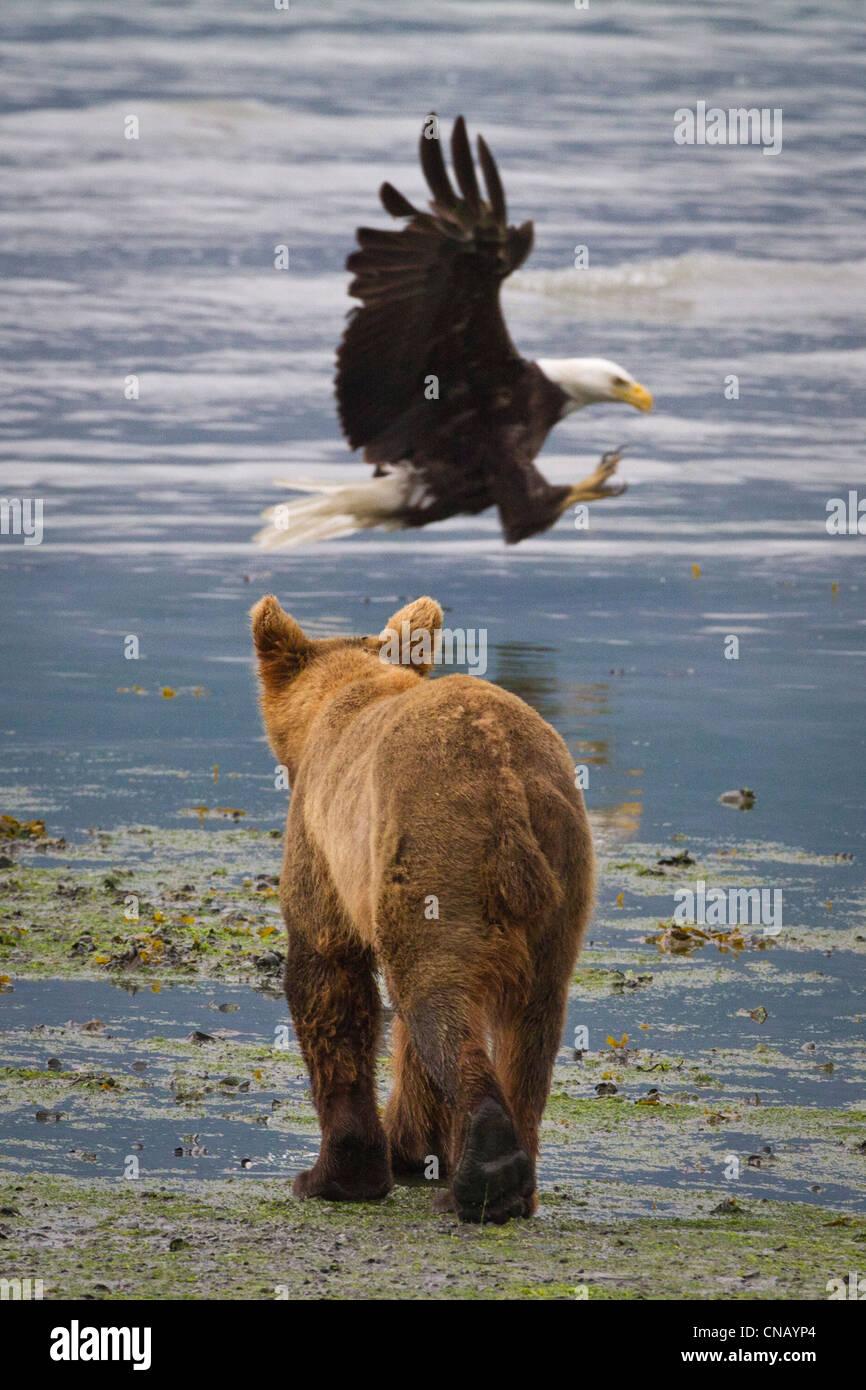 Un ours brun promenades le long de la rive qu'un pygargue à tête blanche se précipite vers le bas et attrape un Banque D'Images