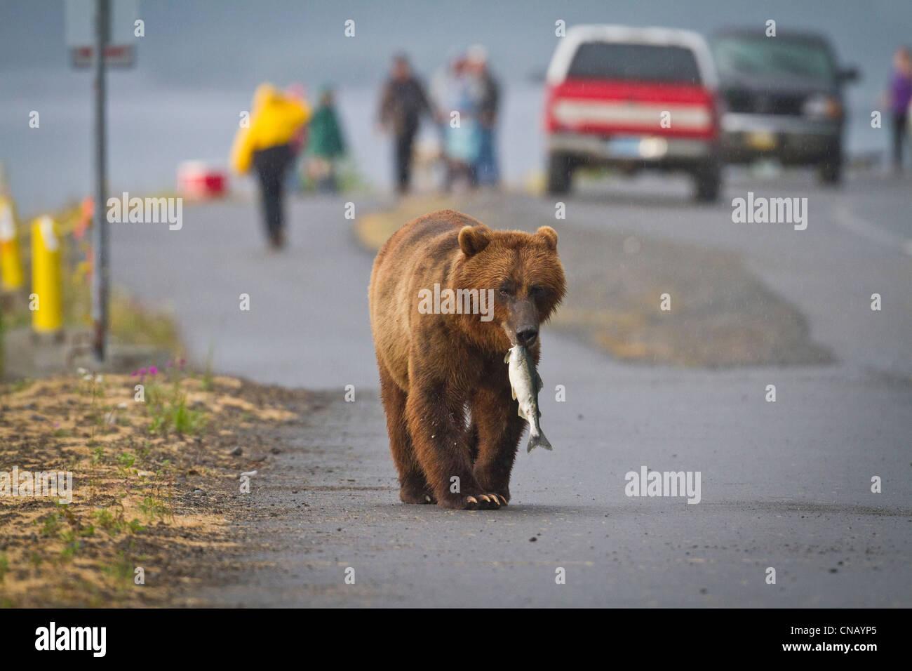 Un ours brun marche dans une rue près de Valdez à Allison Point avec un saumon rose dans sa bouche, de l'Alaska Banque D'Images