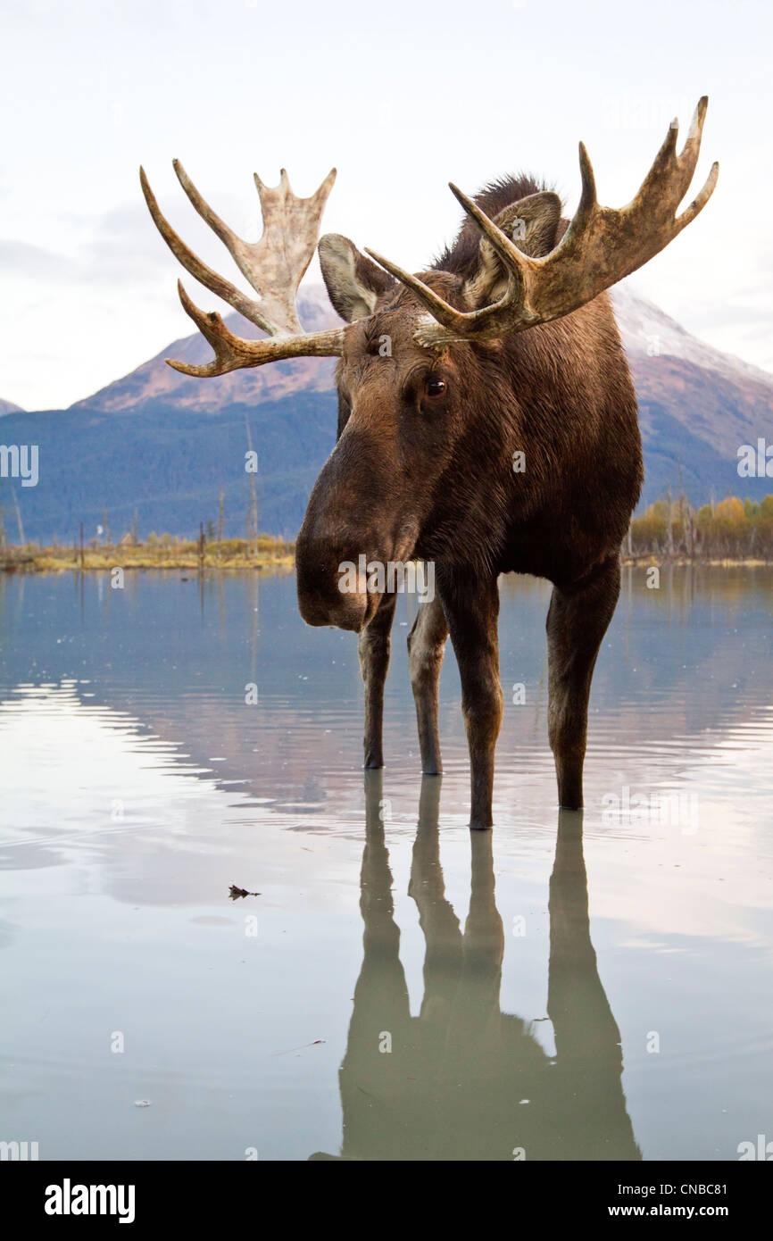 Captif: Bull Moose promenades à travers l'eau à marée haute, Alaska Wildlife Conservation Photo Stock