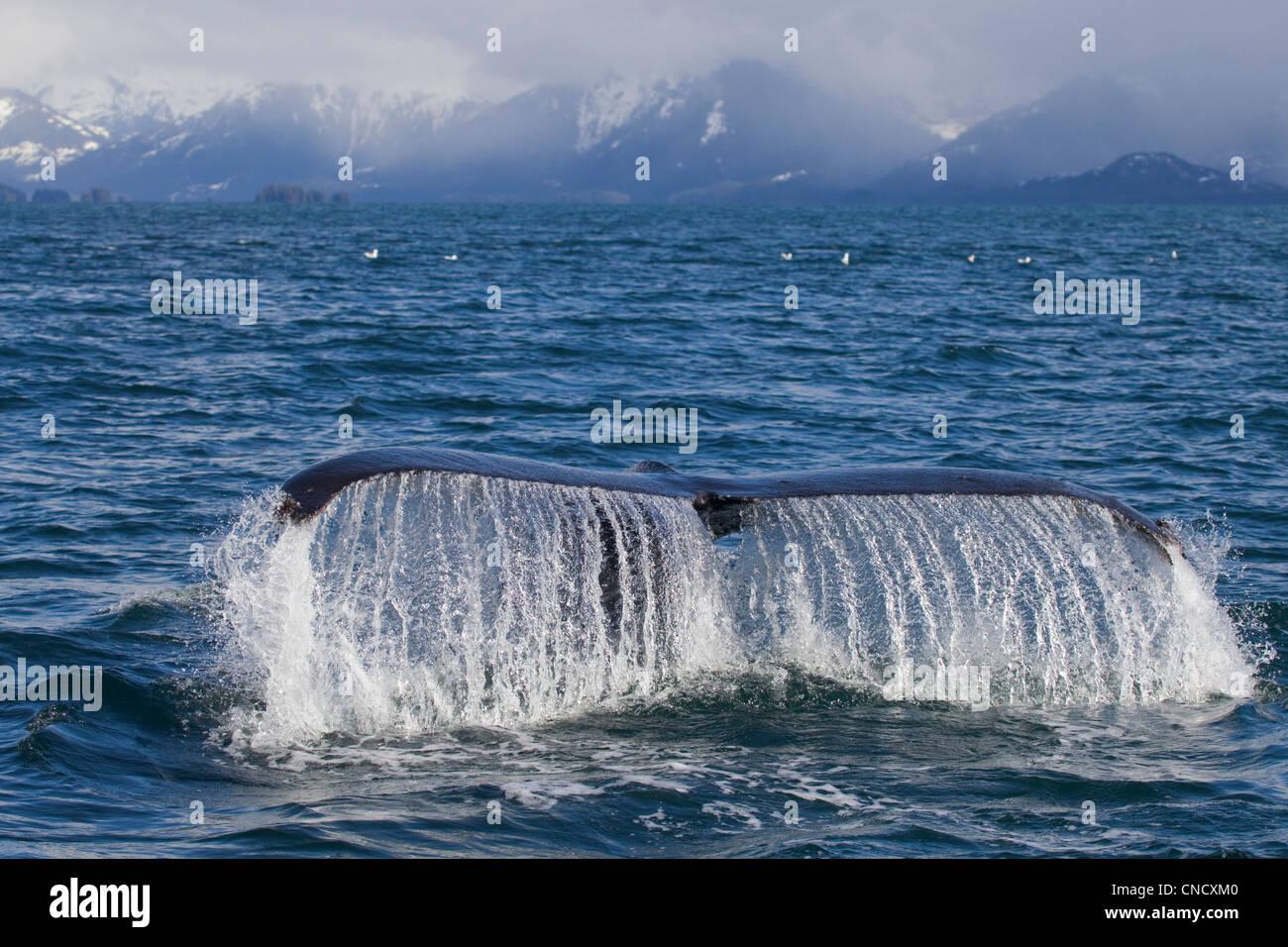 Baleine à bosse fluking avec snowcappped Chugach montagnes en arrière-plan, le Prince William Sound, Alaska Photo Stock