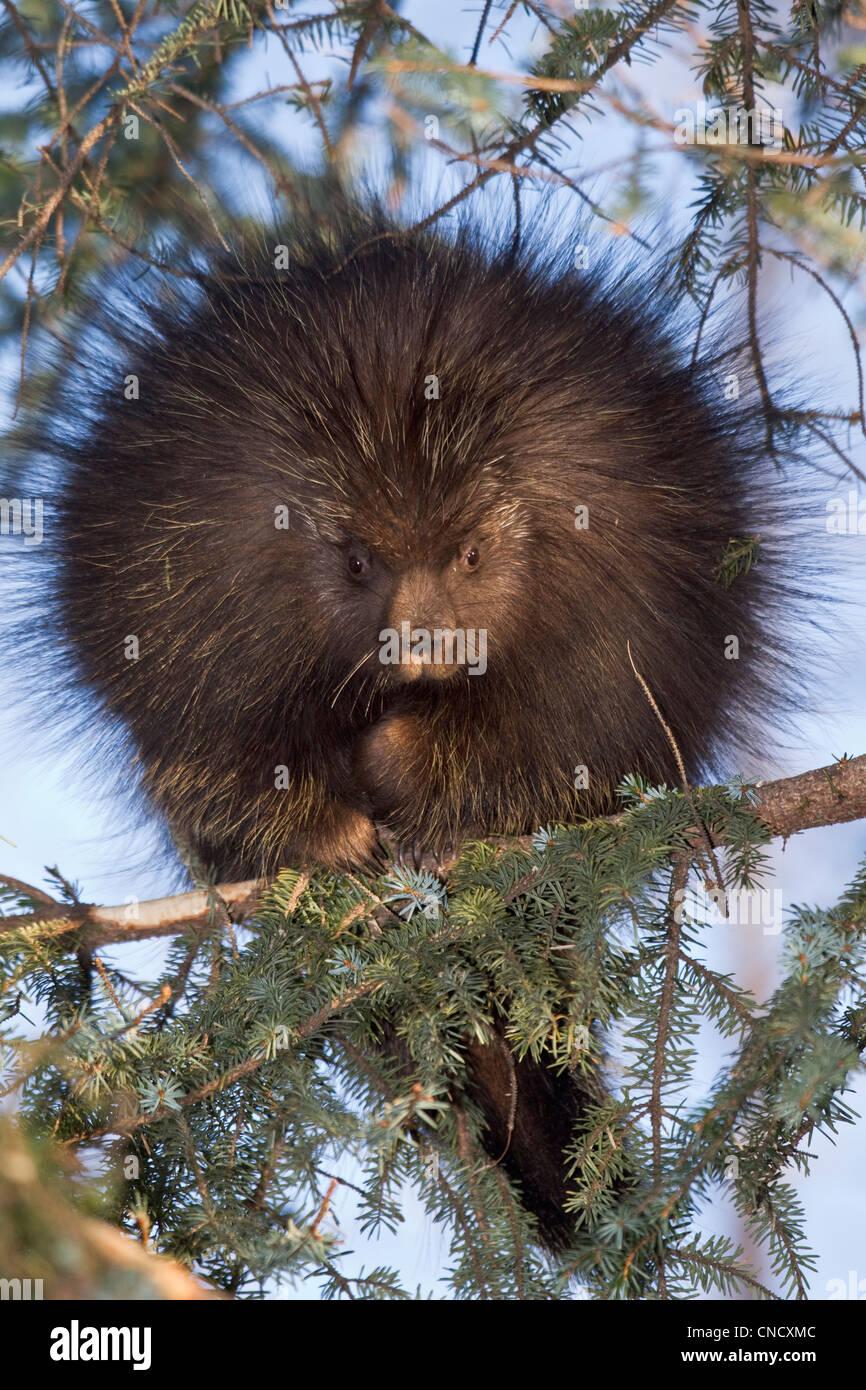 La direction générale de l'épinette sur Porcupine près de Cordova dans la Chugach Mountains, Photo Stock