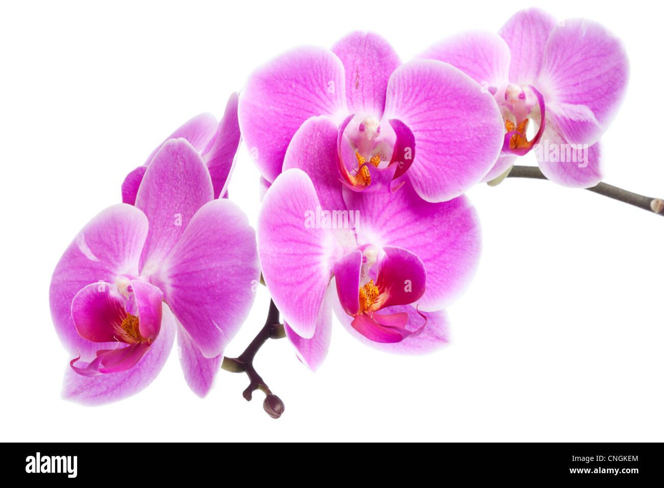 Fleurs Orchidee Rose Sur Une Branche Isole Sur Fond Blanc Banque D
