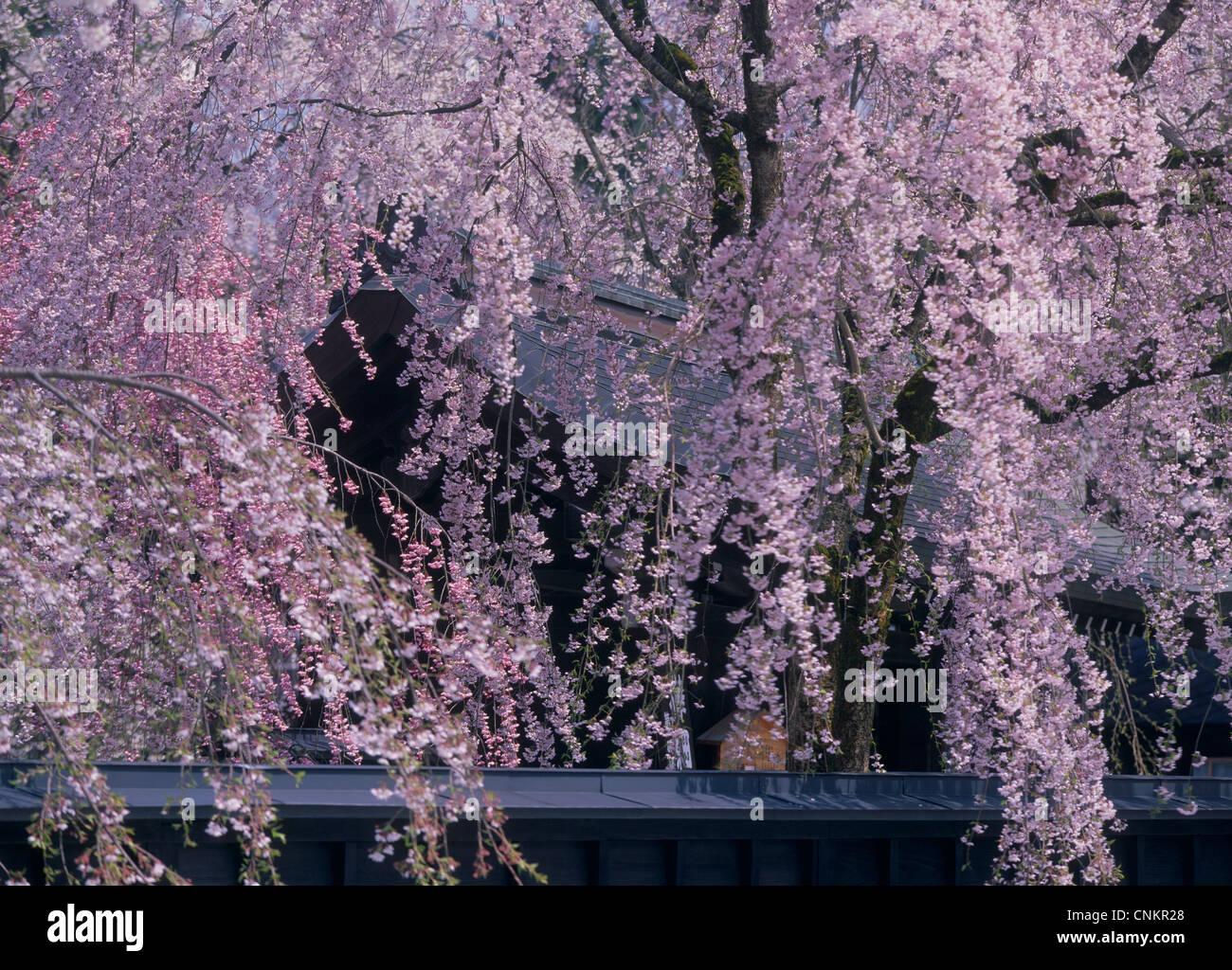 Les fleurs de cerisier à Kakunodate, Semboku, Akita, Japon Photo Stock