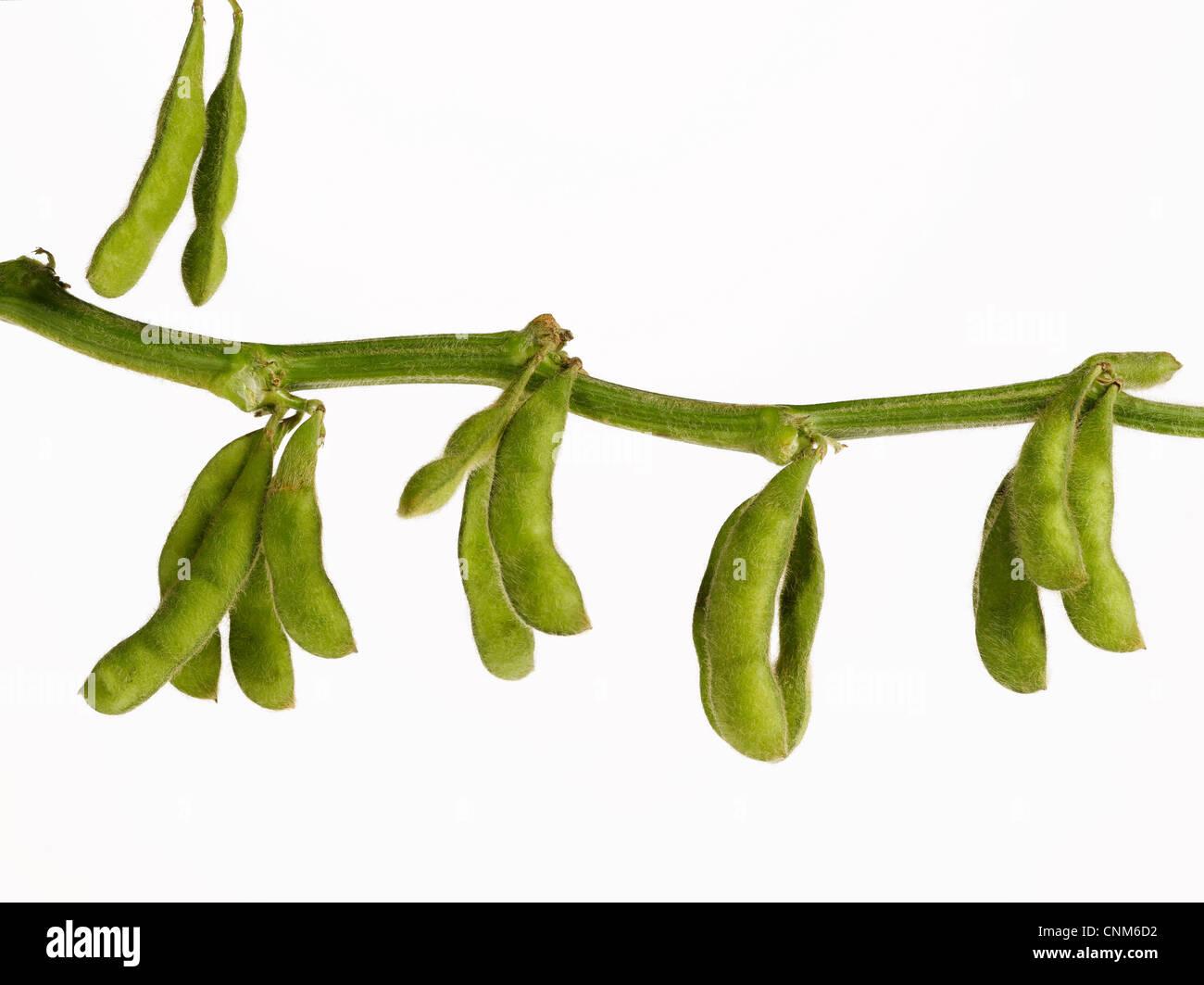 La direction générale sur les gousses de soja Photo Stock