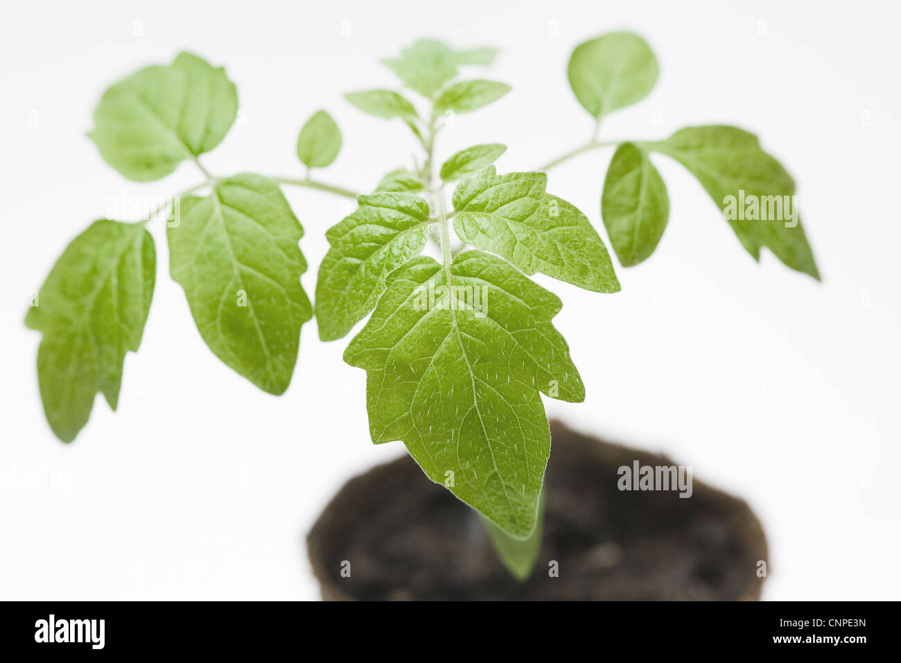 Lycopersicon esculentum. Les plants de tomates dans les premiers stades de croissance. Photo Stock