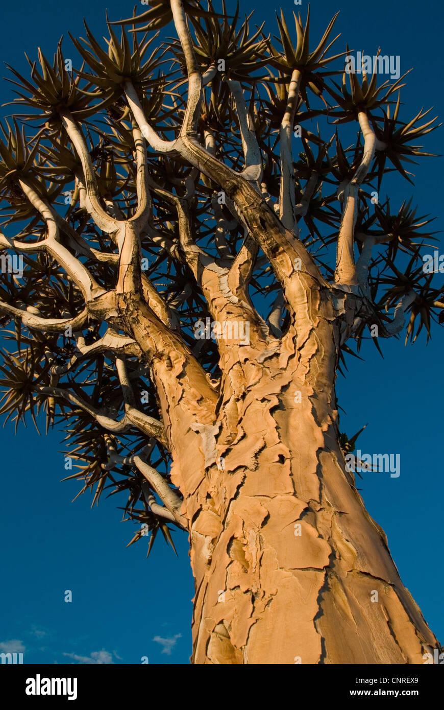 Kokerboom (Aloe dichotoma, quivertree), Namibie, Keetmanshoop Photo Stock