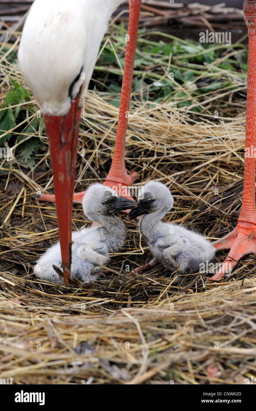 Cigogne Blanche (Ciconia ciconia), deux oiseaux assis dans un nid sous un adulte, France, Alsace Banque D'Images