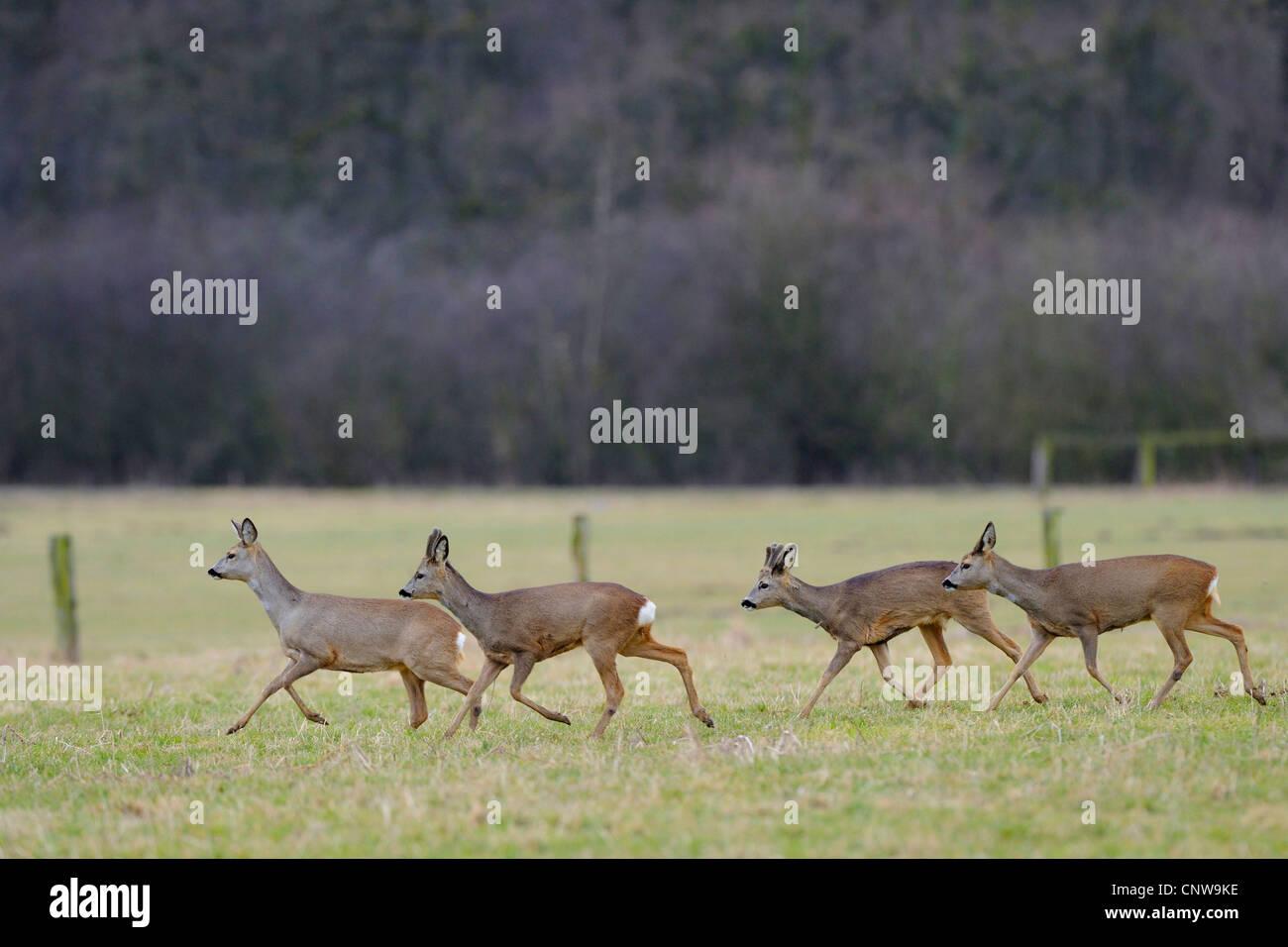 Le chevreuil (Capreolus capreolus), pack crossing un pré, Allemagne Photo Stock
