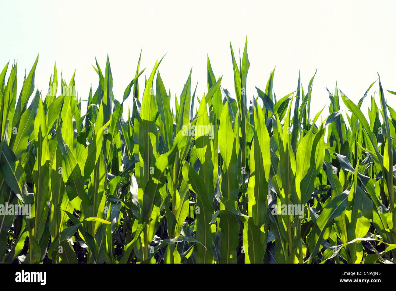 Le maïs, le maïs (Zea mays), champ en été, Allemagne Photo Stock