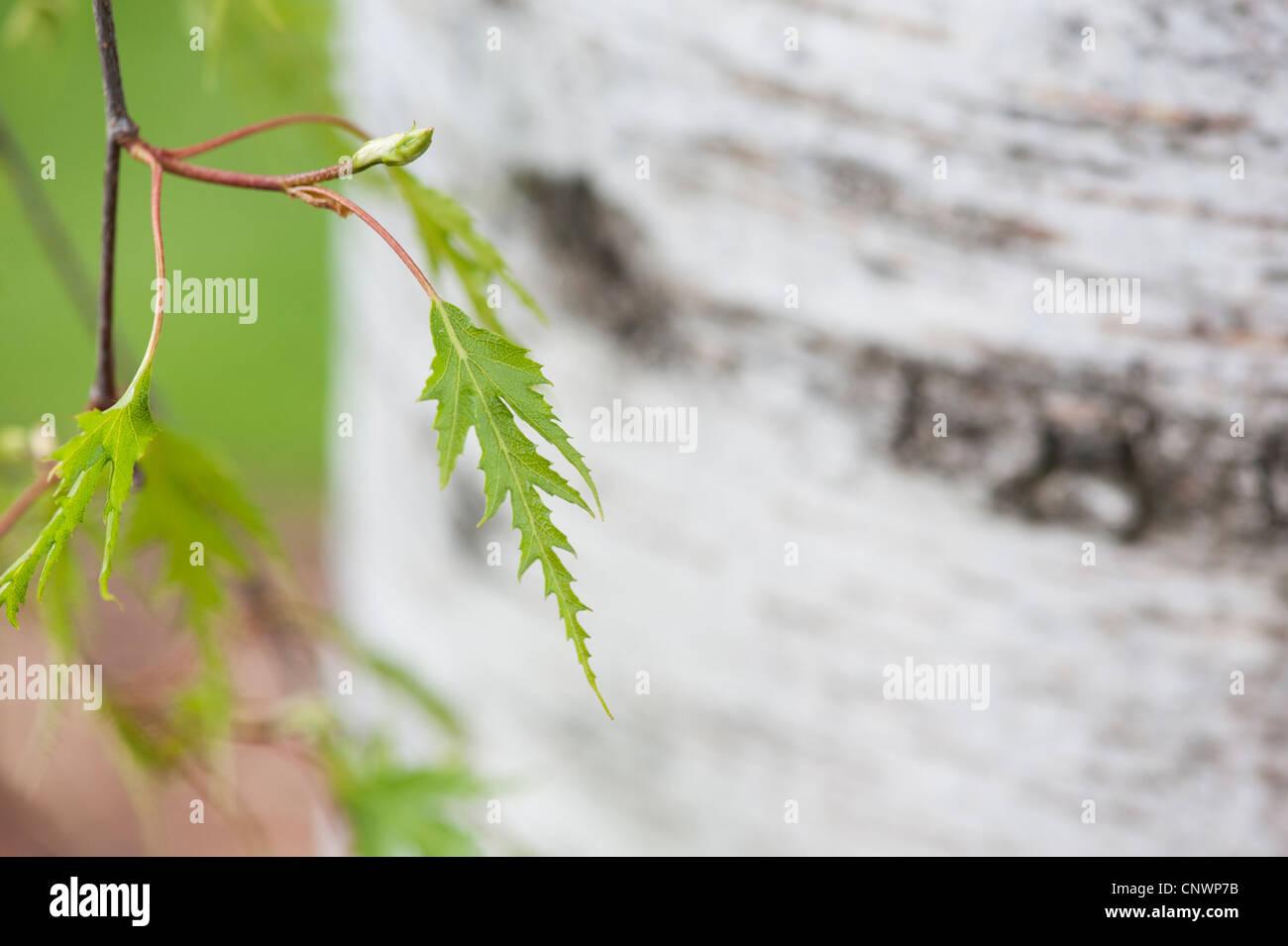 Betula pendula dalecarlica. Bouleau feuilles coupées suédois Photo Stock