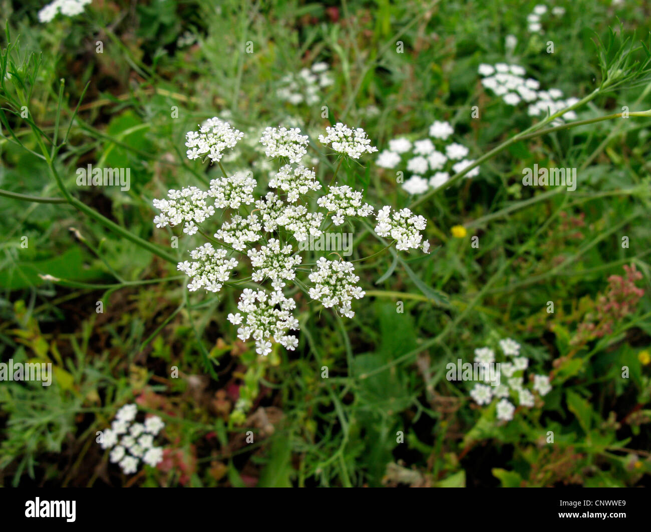 Bullwort, cure-dents ammi, Bishop's flower (Ammi majus), blooming, Canaries, Gomera Banque D'Images