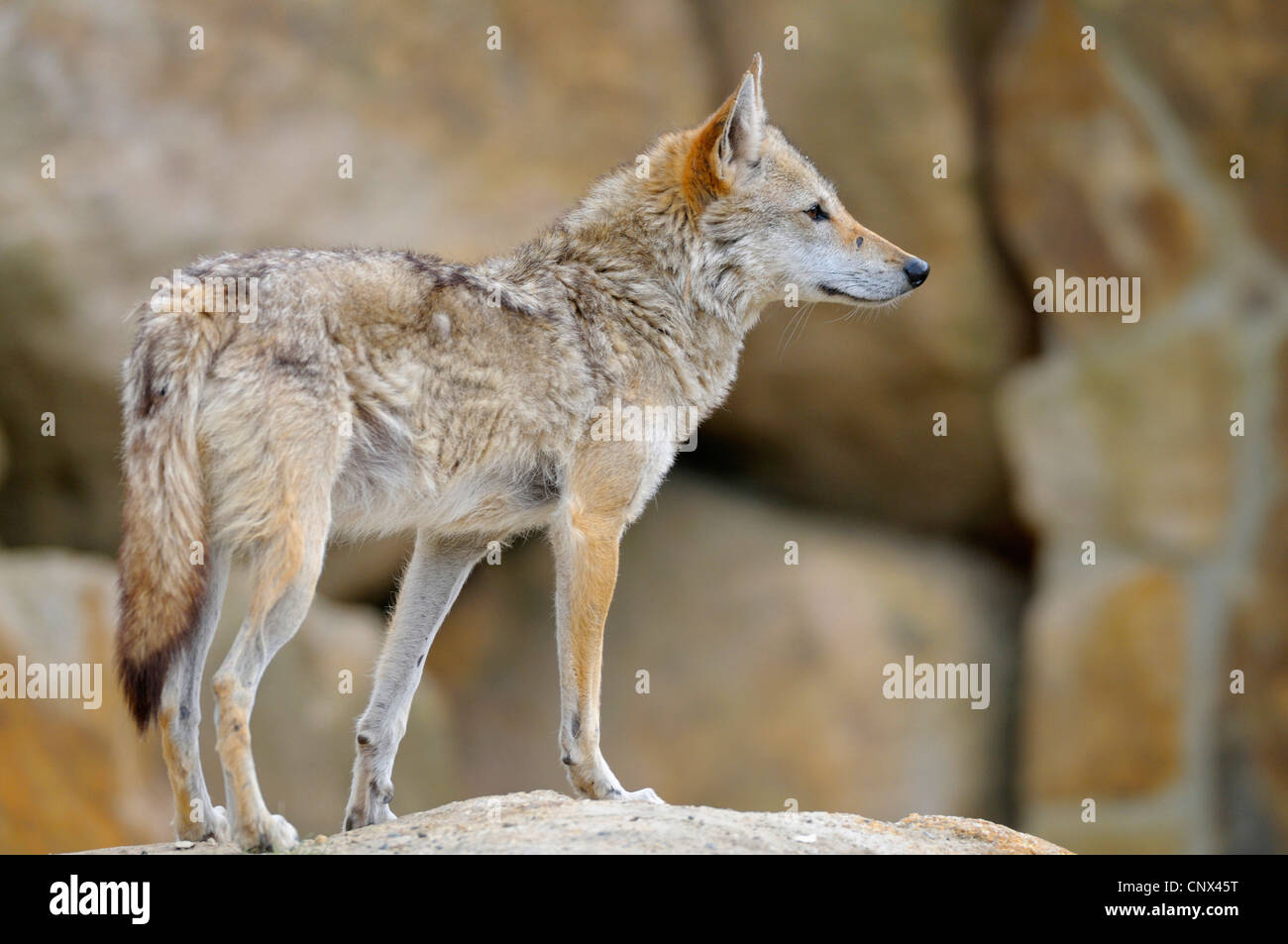 Le chacal doré (Canis aureus), debout sur un rocher à out Banque D'Images